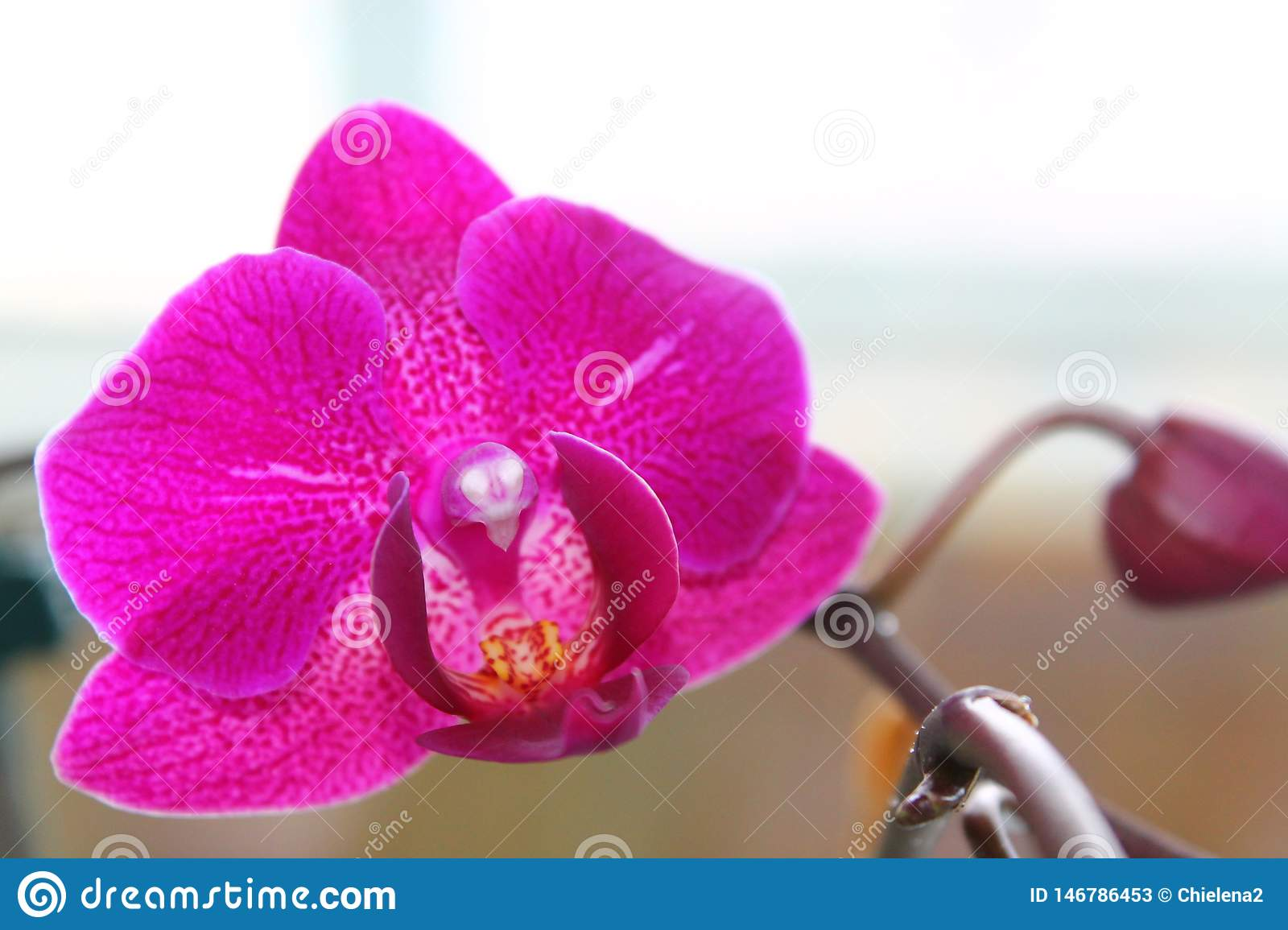Delicate scarlet pink flower phalaenopsis orchid  on white background.