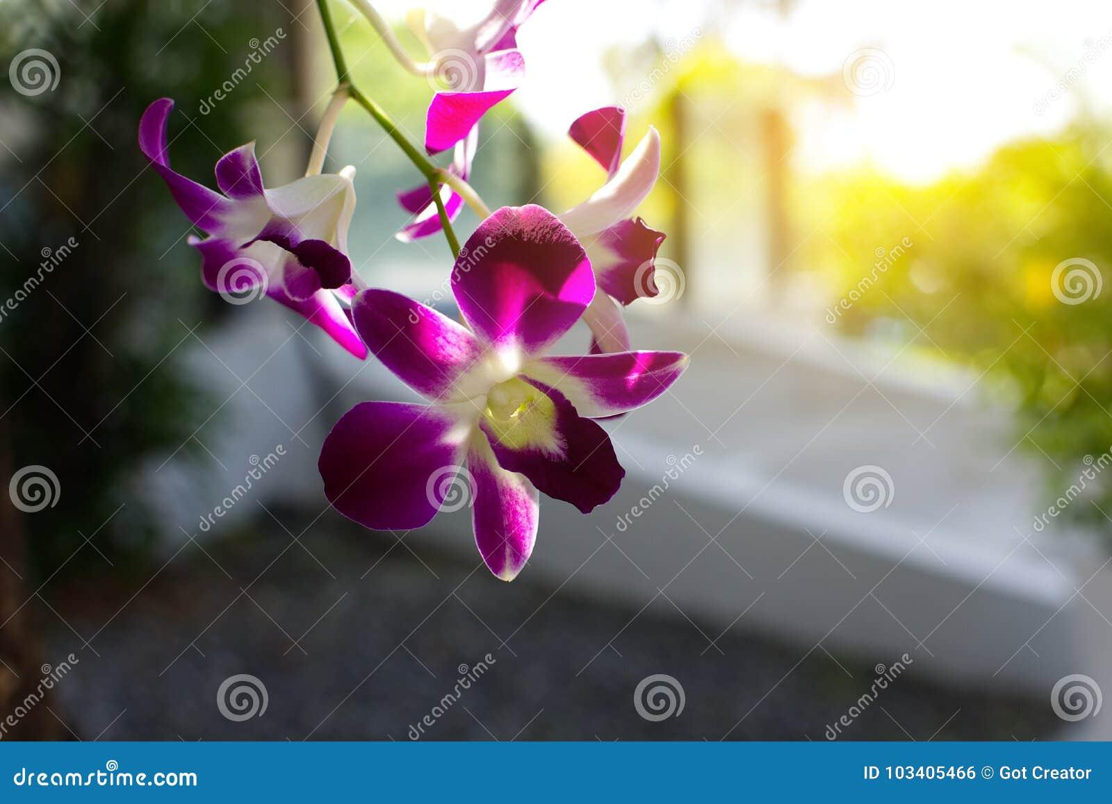 Delicate scarlet purple flower phalaenopsis orchid.