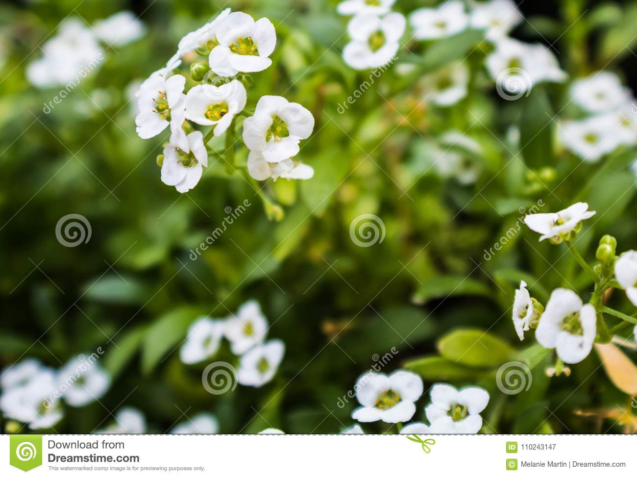 Delicate White Flowers Against Green Leaves Stock Image Image Of