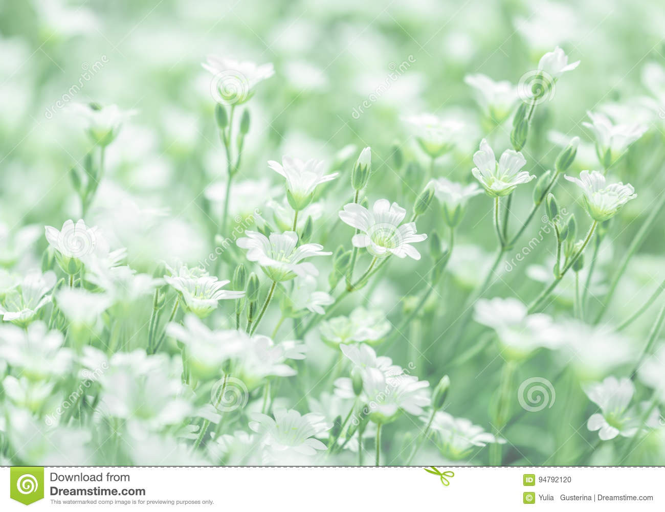 Delicate White Flowers Of Cerastium On A Delicate Green Background