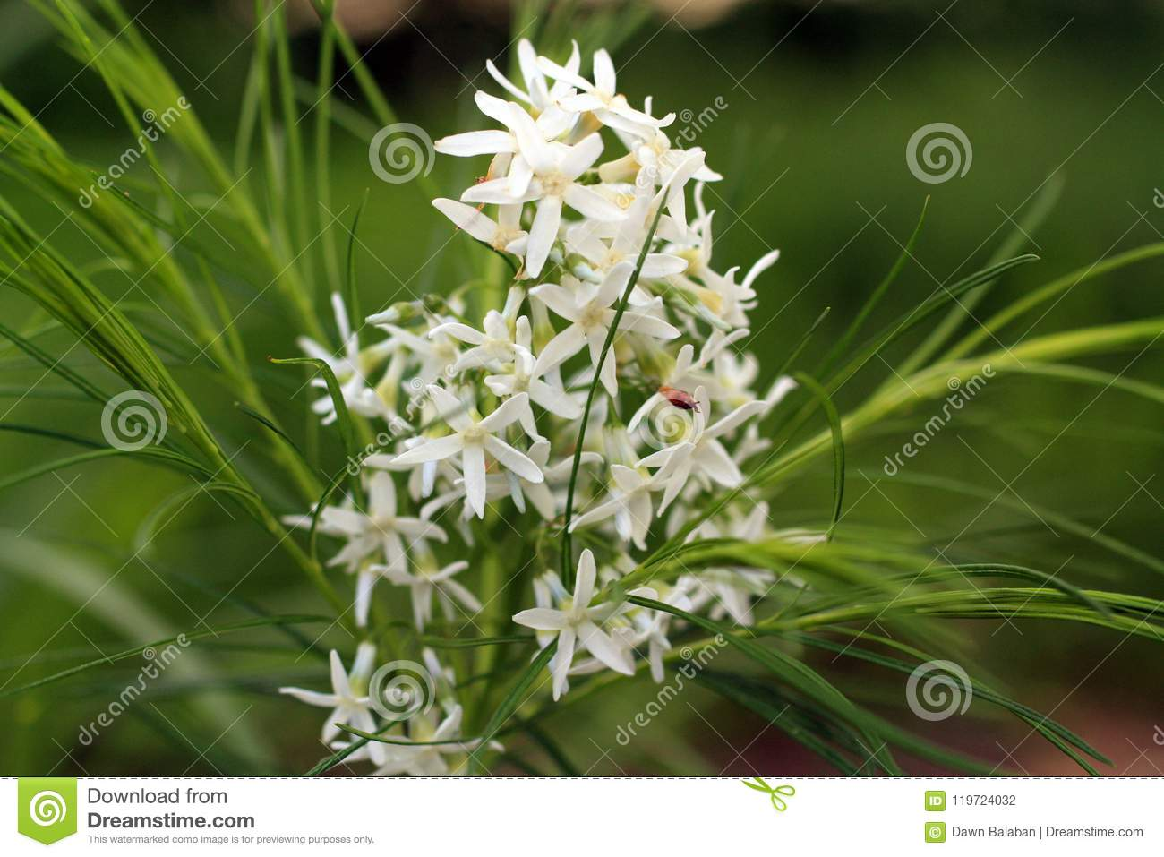 Delicate White Flowers With Yellow Center Stock Photo Image Of