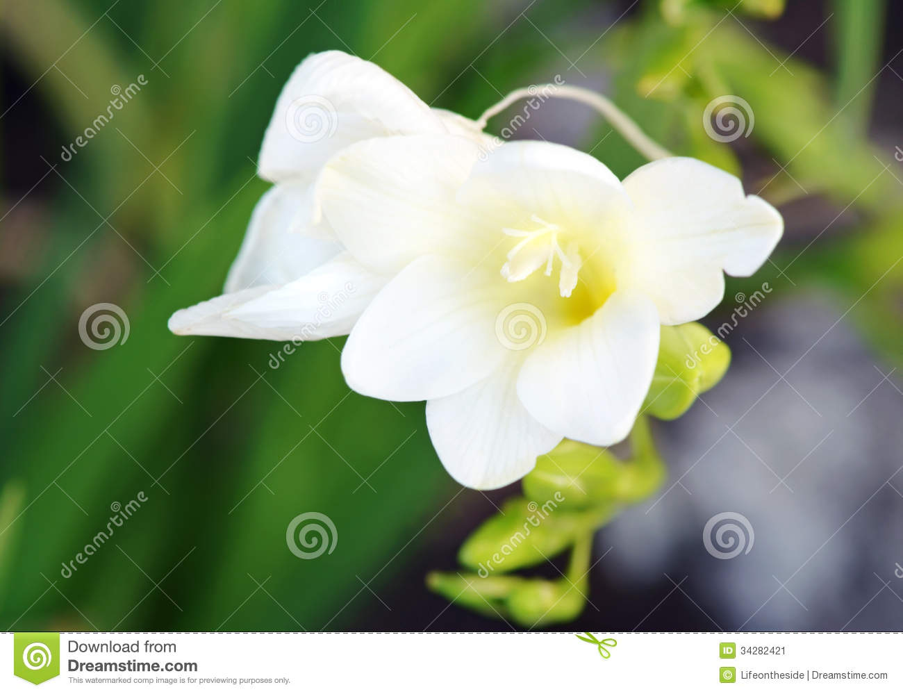 Delicate white fragrant freesia open flower plant stock image delicate white fragrant freesia open flower plant mightylinksfo Images