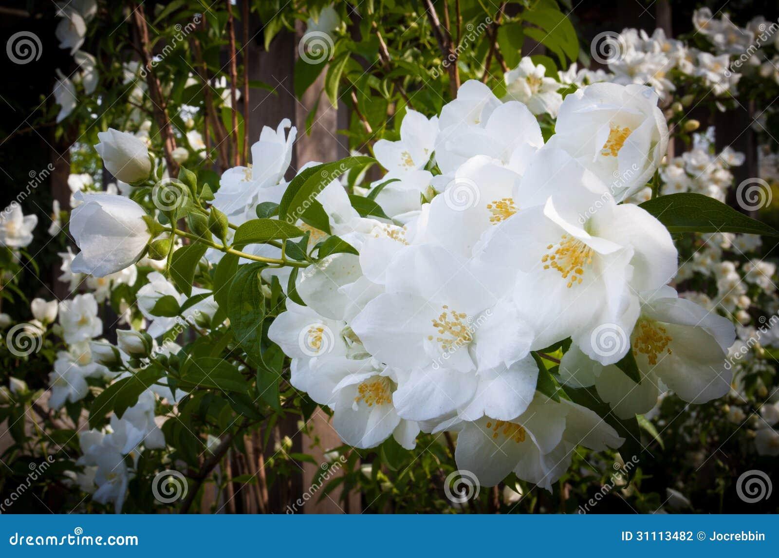 Roses In Garden: Delicate, White, Knock-out Roses In Full Bloom Stock