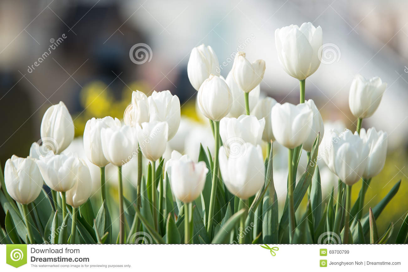 Delicate white tulips bloomed in early spring in a city Park