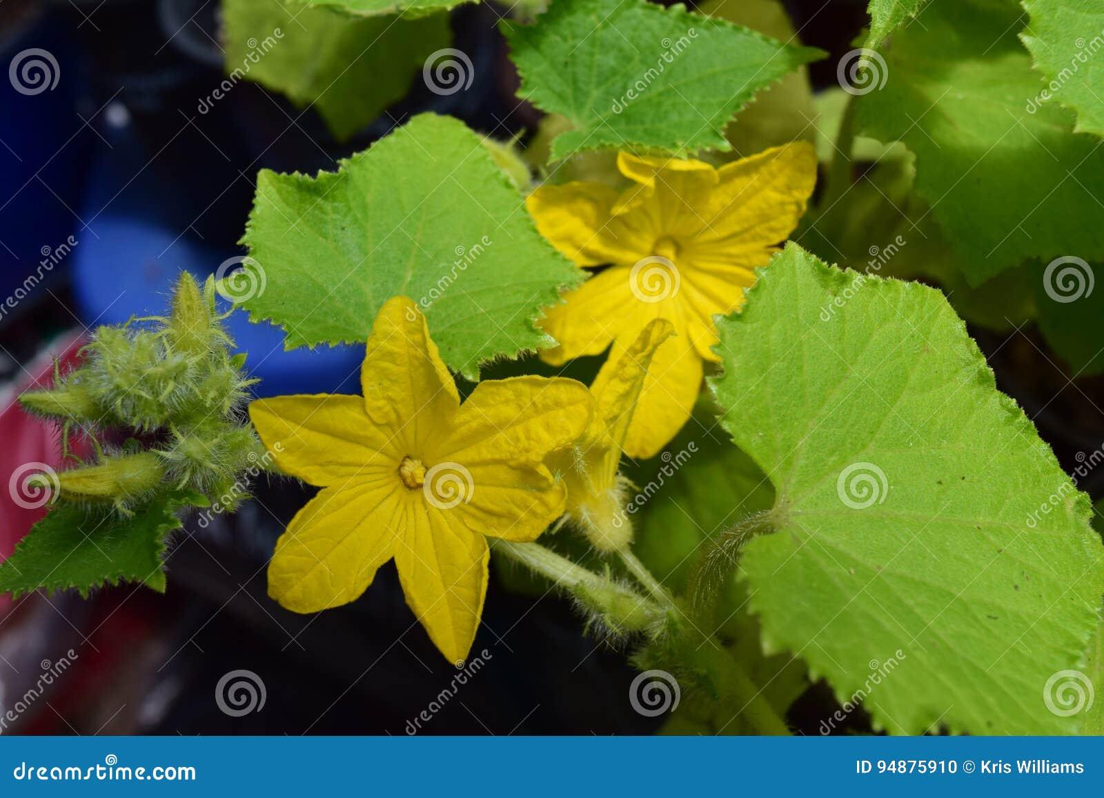 Delicate Yellow Flowering Cucumber Seedlings Stock Photo Image Of