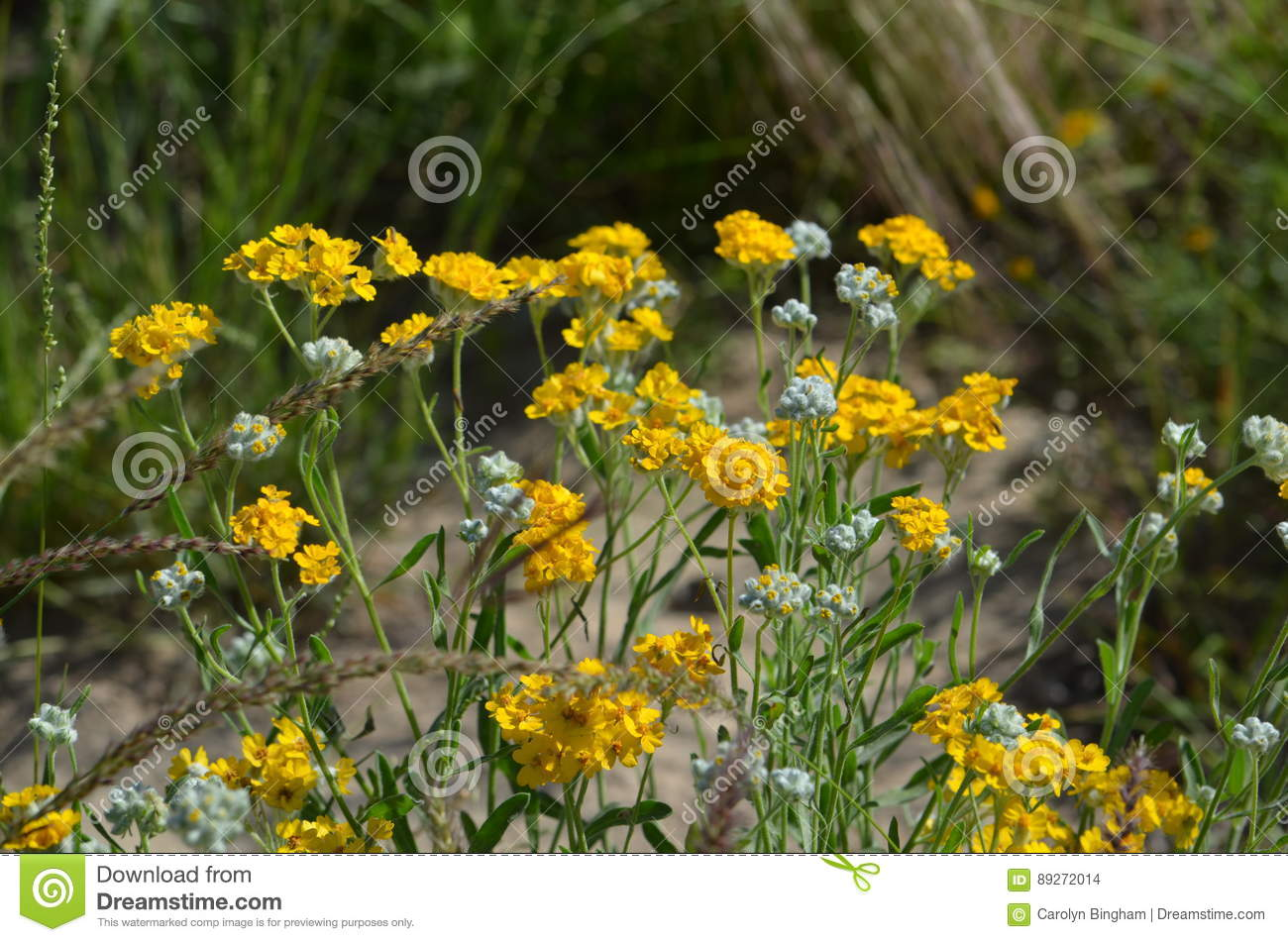Delicate Yellow Flowers Stock Photo Image Of Delicate 89272014