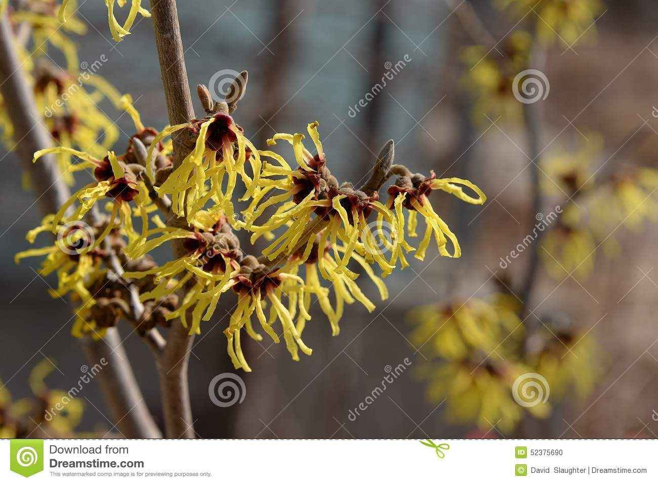 Delicate Yellow Flowers Of Witch Hazel Stock Photo Image Of