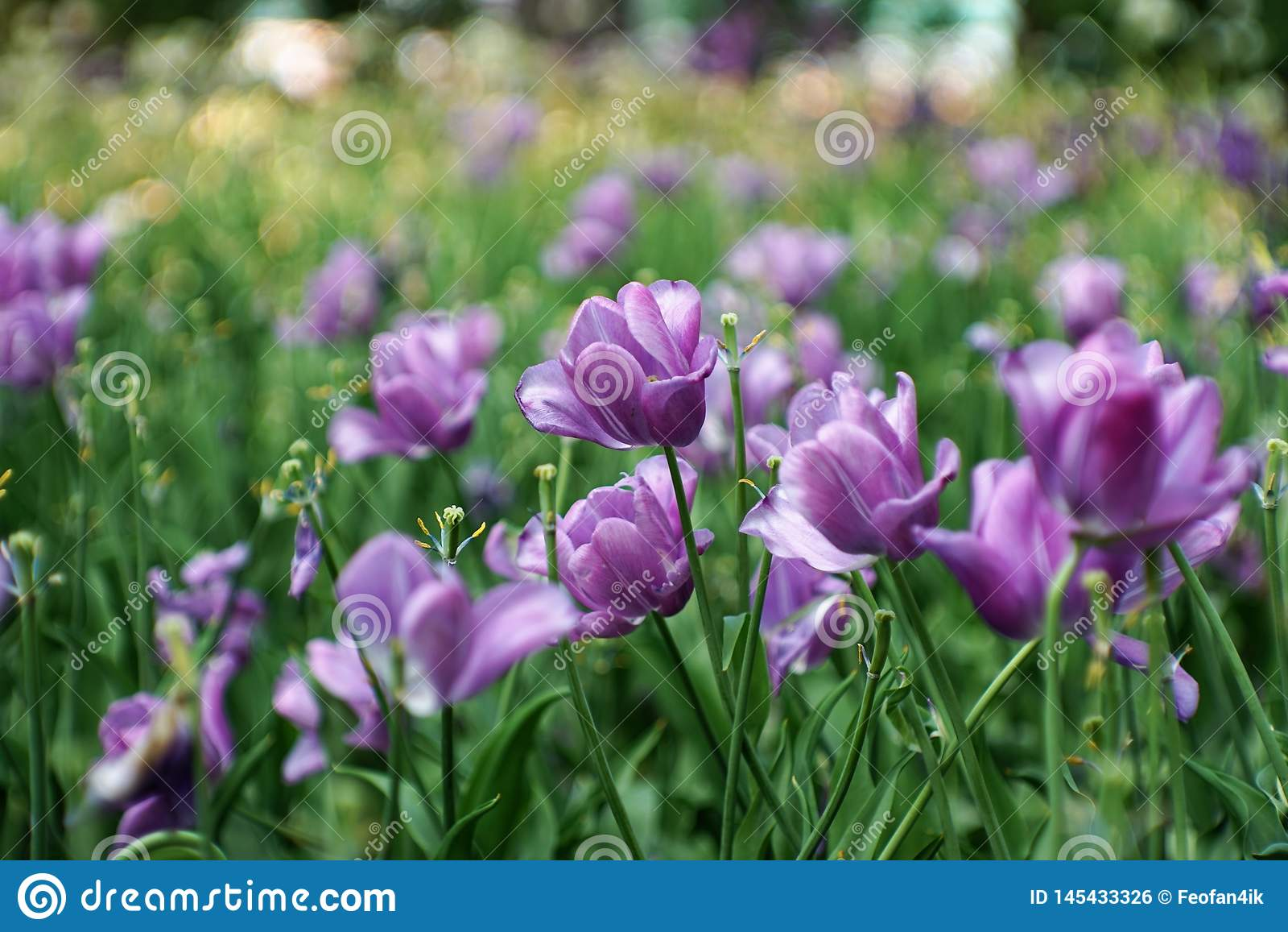 Deliciosamente tulipas na flor completa tulipas roxas, raras