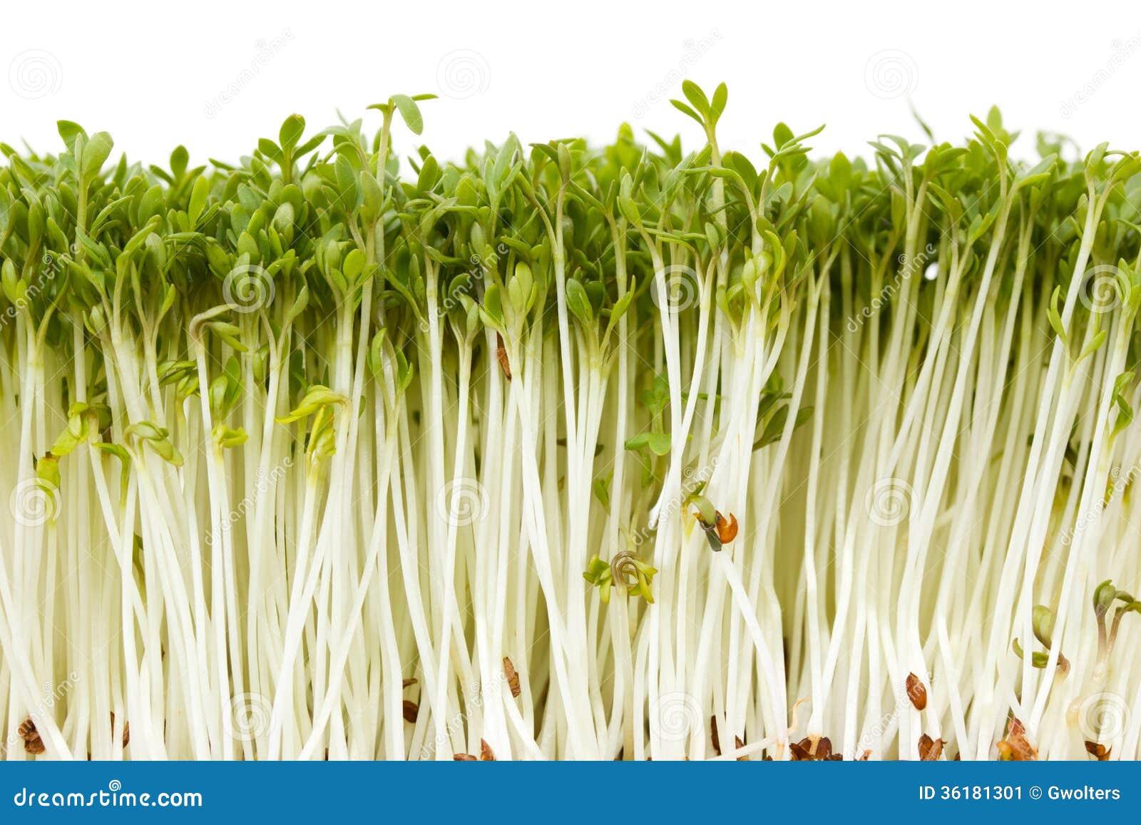 delicious garden cress - Delicious Garden