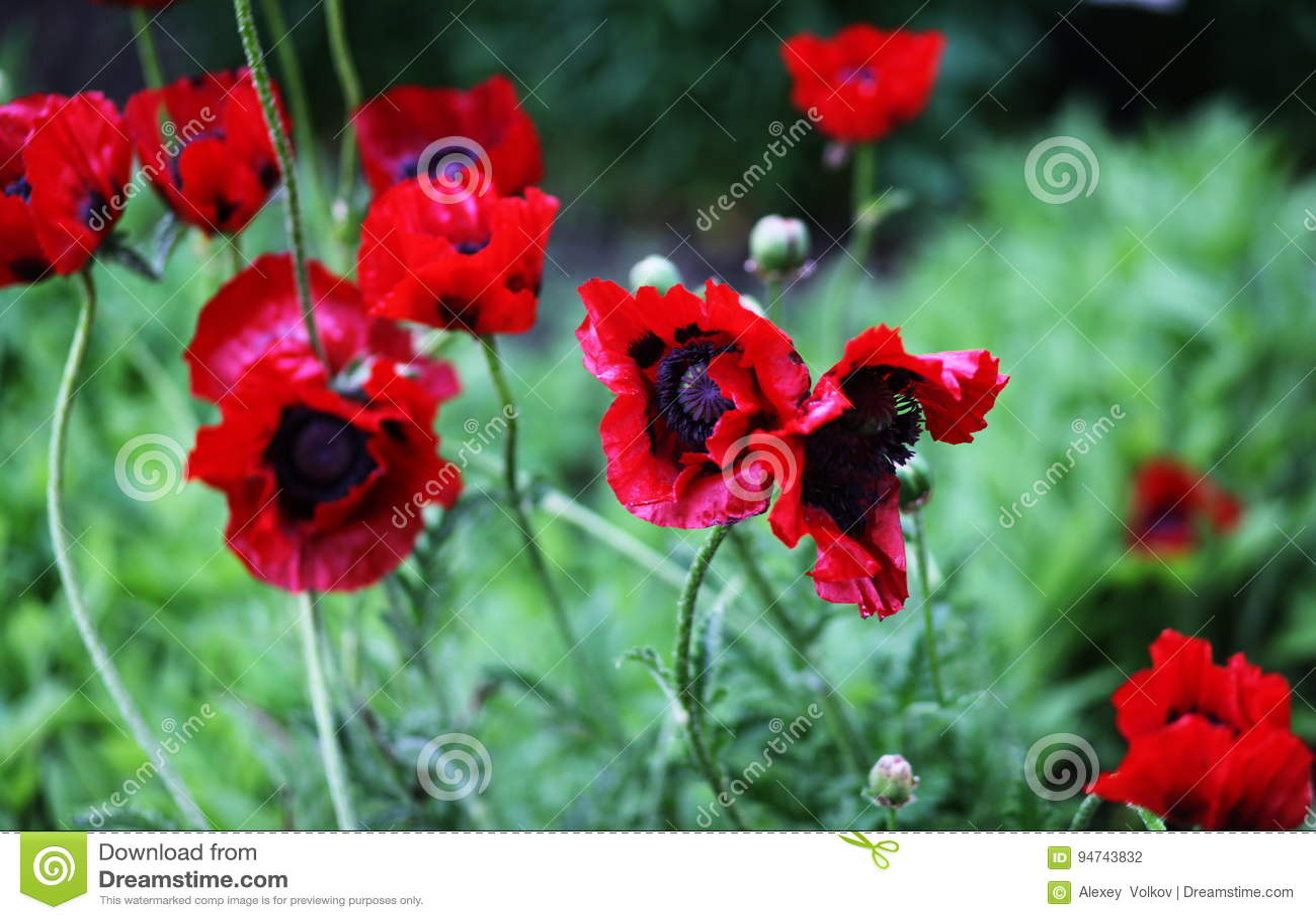 Delightful flowers of poppy