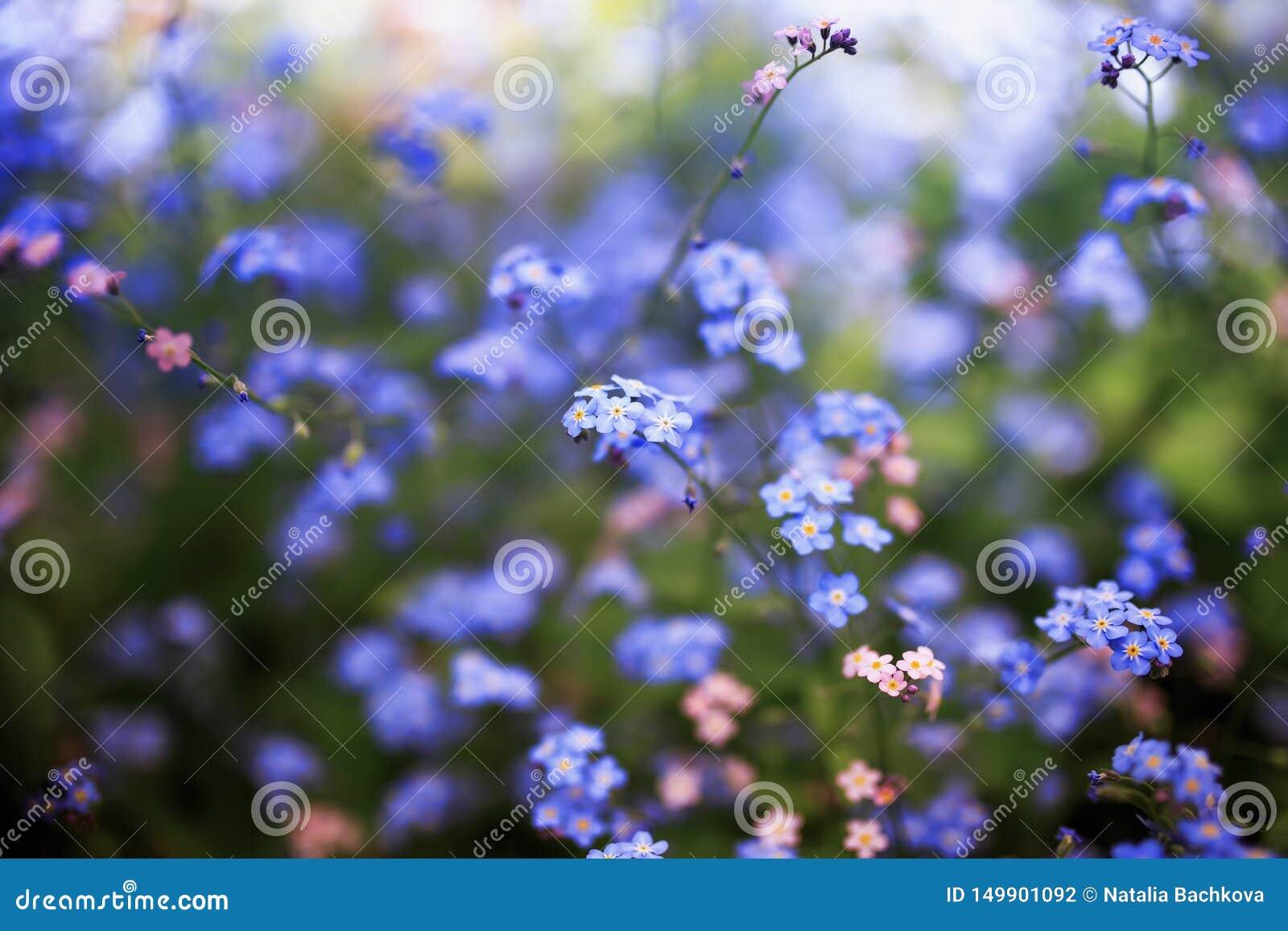 Delikata förgätmigejblommor av olika skuggor av blått och rosa färger fick den trötta på våren soliga trädgården