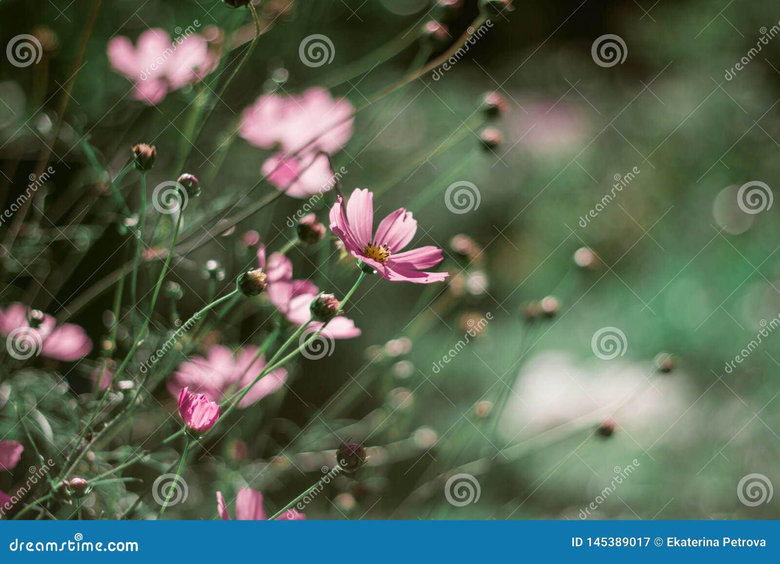 Delikata rosa tusensk