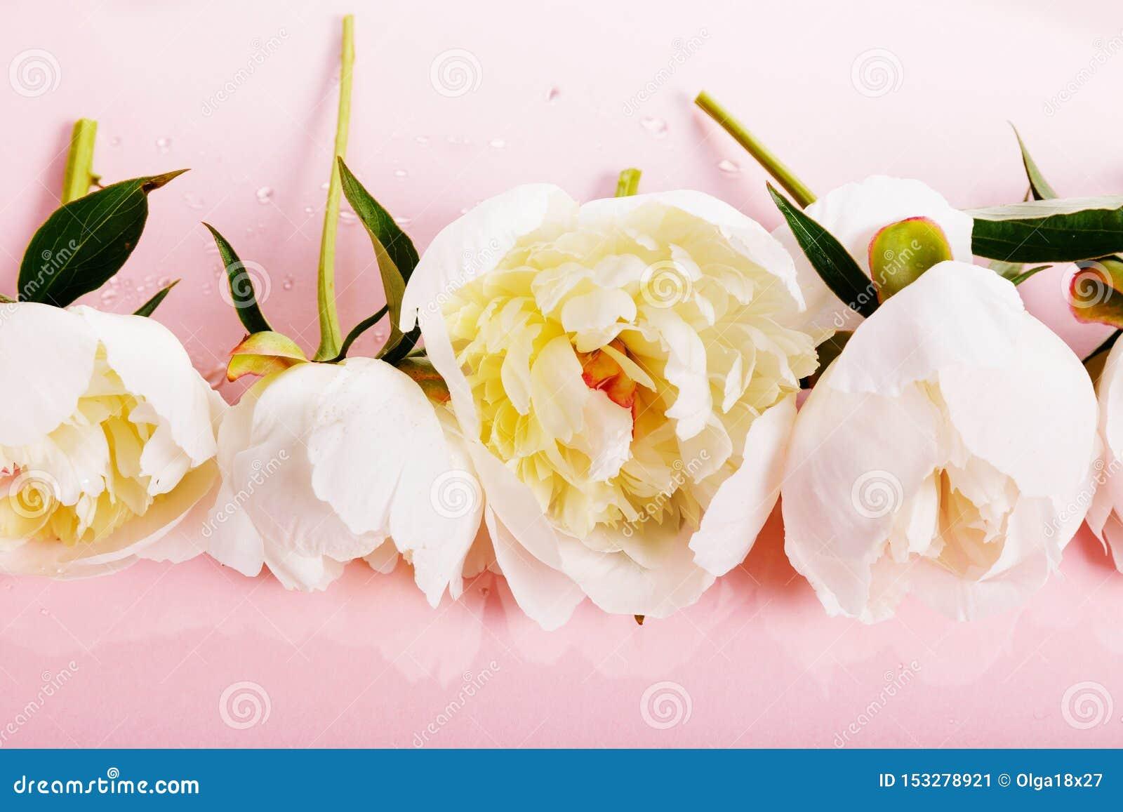 Delikatna biel menchii peonia z płatkami kwitnie na różowym tle Zasi?rzutny odg?rny widok, mieszkanie nieatutowy kosmos kopii