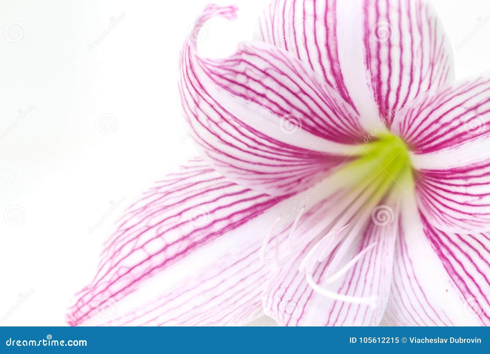 Delikatna różowa leluja kwiatu zbliżenia fotografia Kwiecisty kobiecy sztandaru szablon