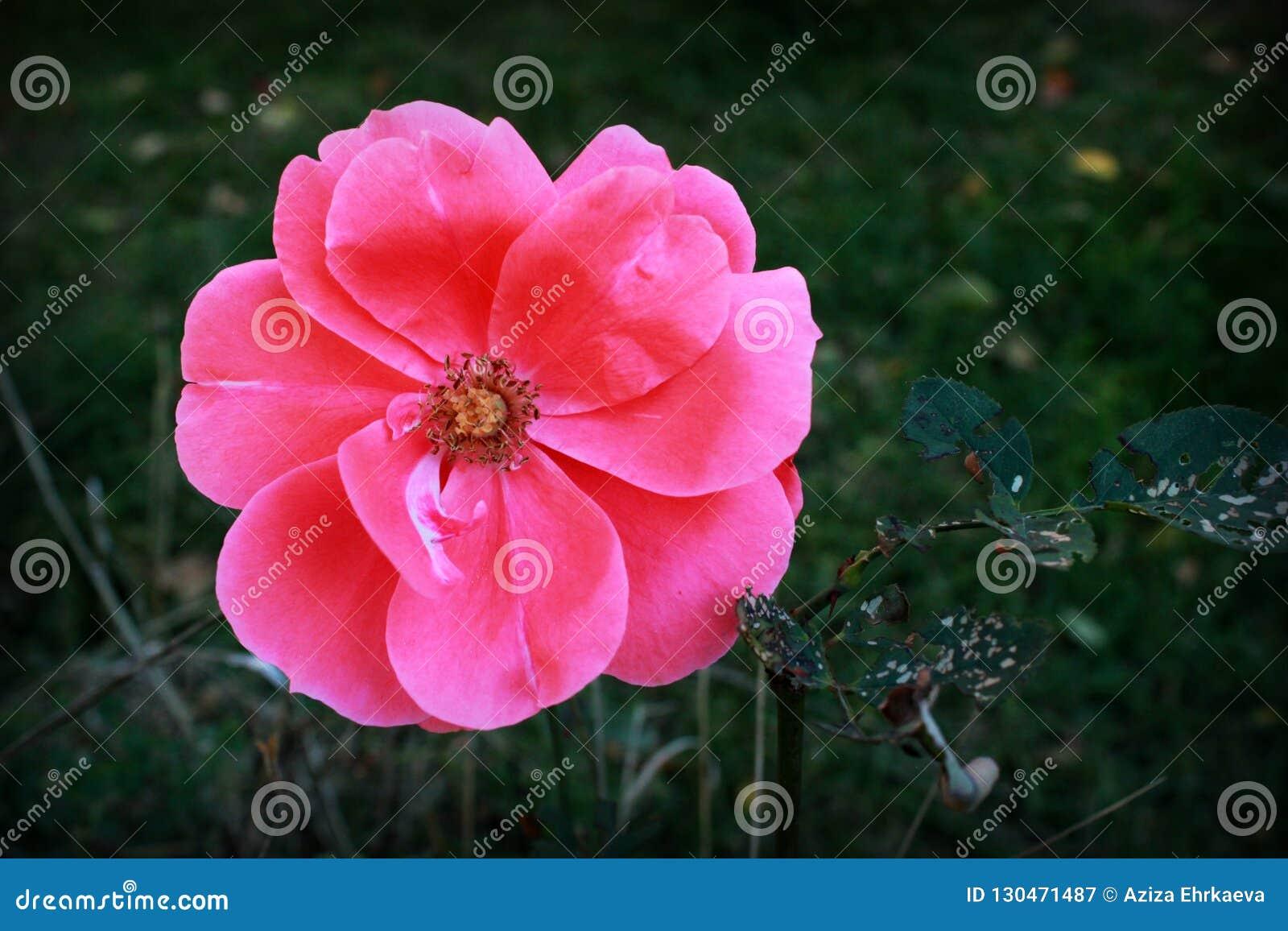 Delikatne piękne menchie kwitną w ogródzie,