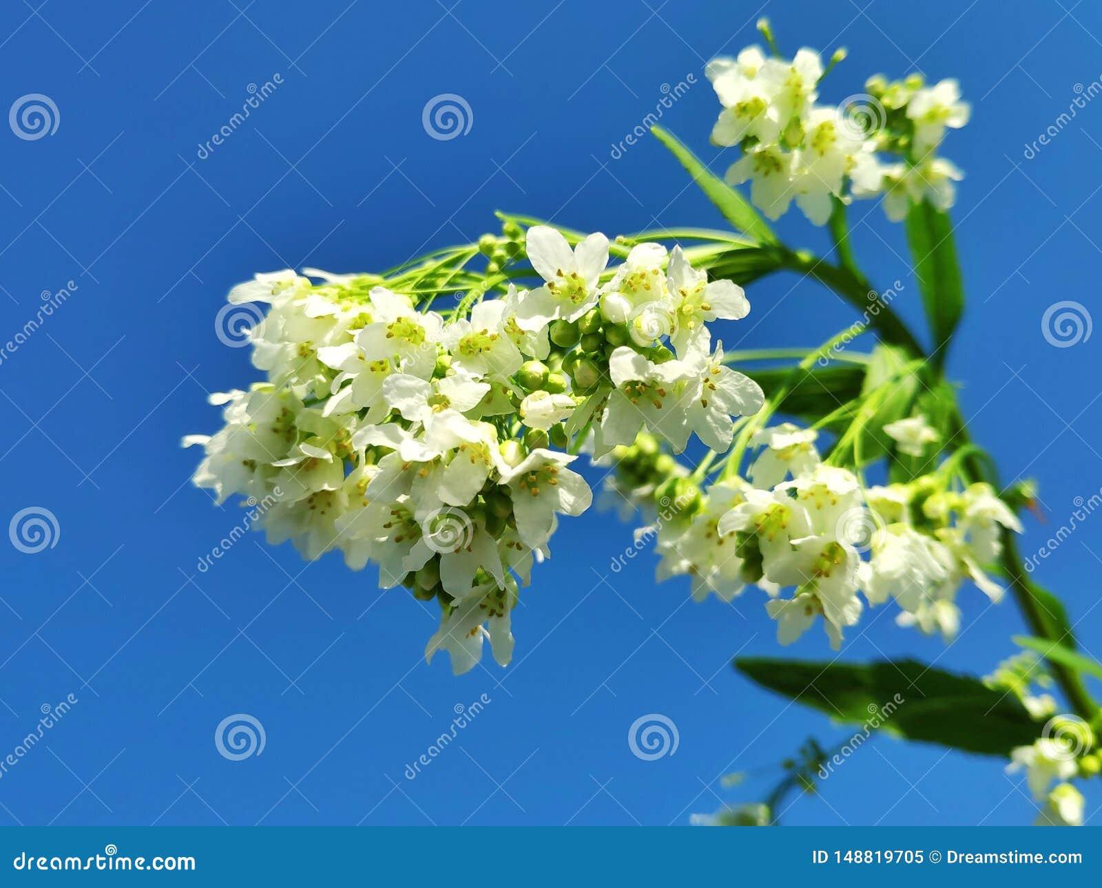 Delikatni ogrodowi horseradish kwiaty