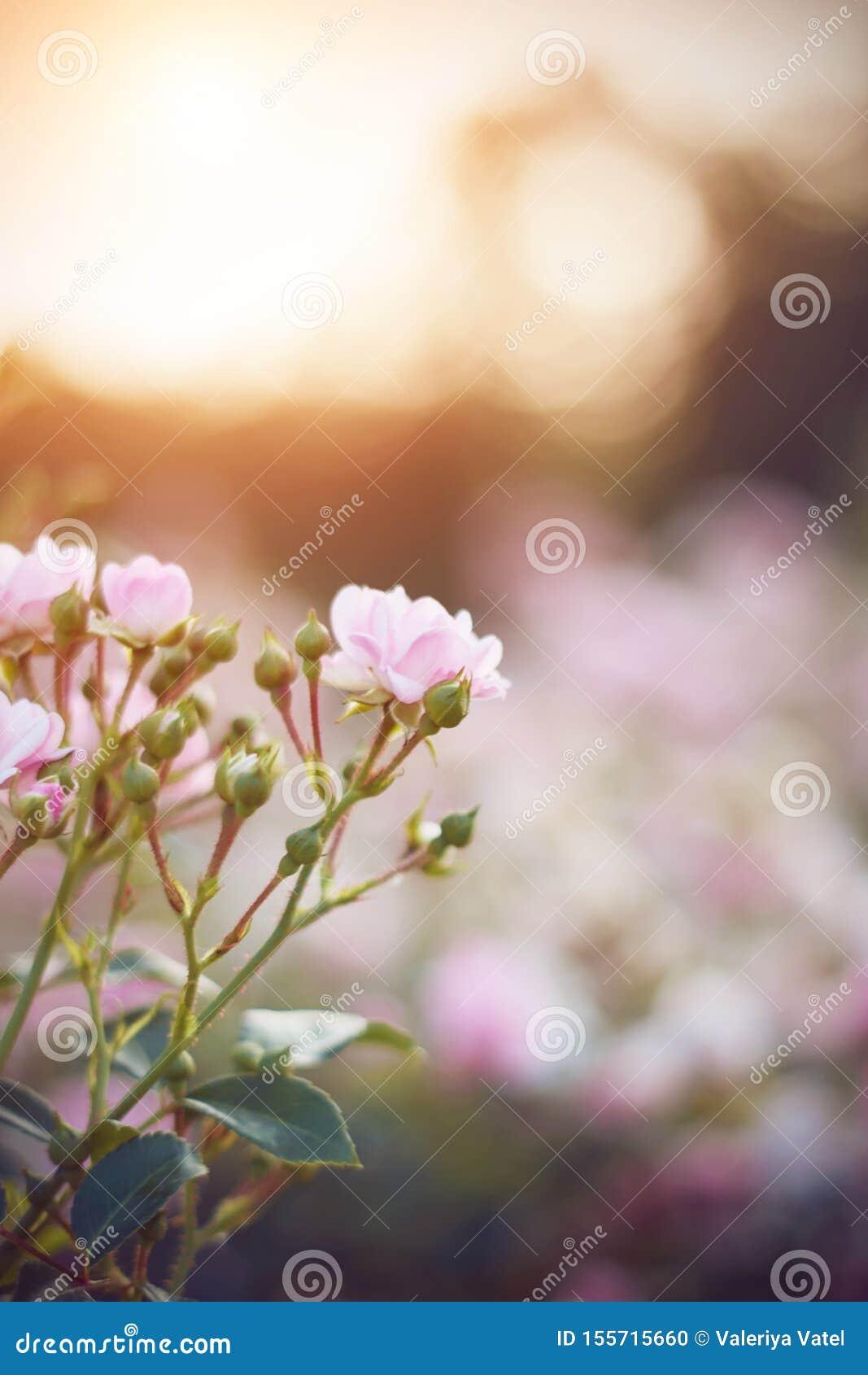 Delikatny ale kłujący róża kwiat kwitnie przy świtem