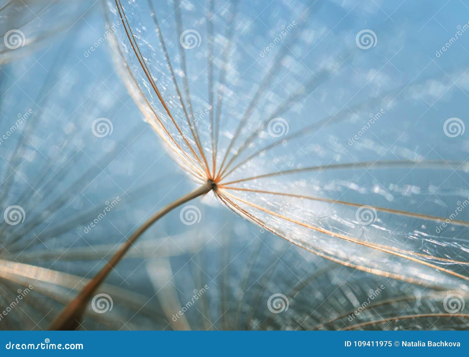 Delikatny naturalny tło puszyści ziarna dandelion flo