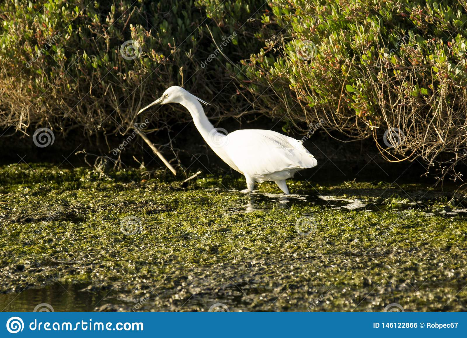 Della Pescaia Гроссето Италии Тосканы Maremma Castiglione, природный заповедник Diaccia Botrona, звероловства цапли в канале