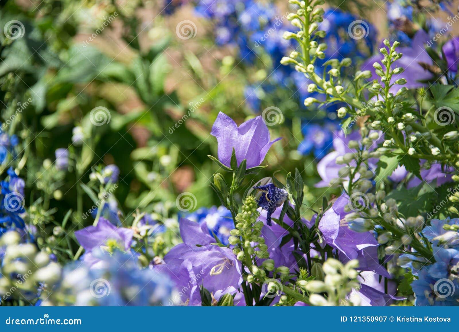 Delphinium grandiflorum flower in a green background
