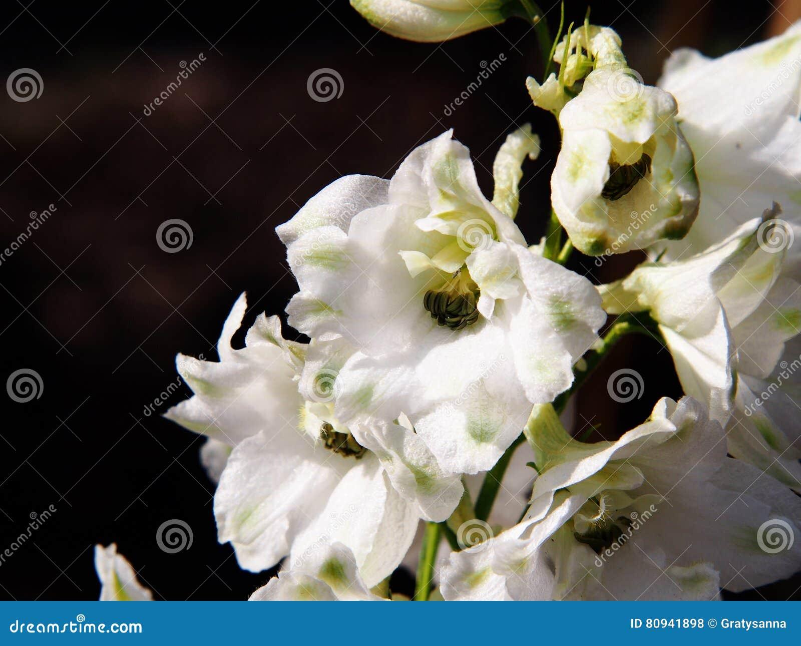 Delphinium larkspur stock photo image of flower closeup 80941898 download comp mightylinksfo