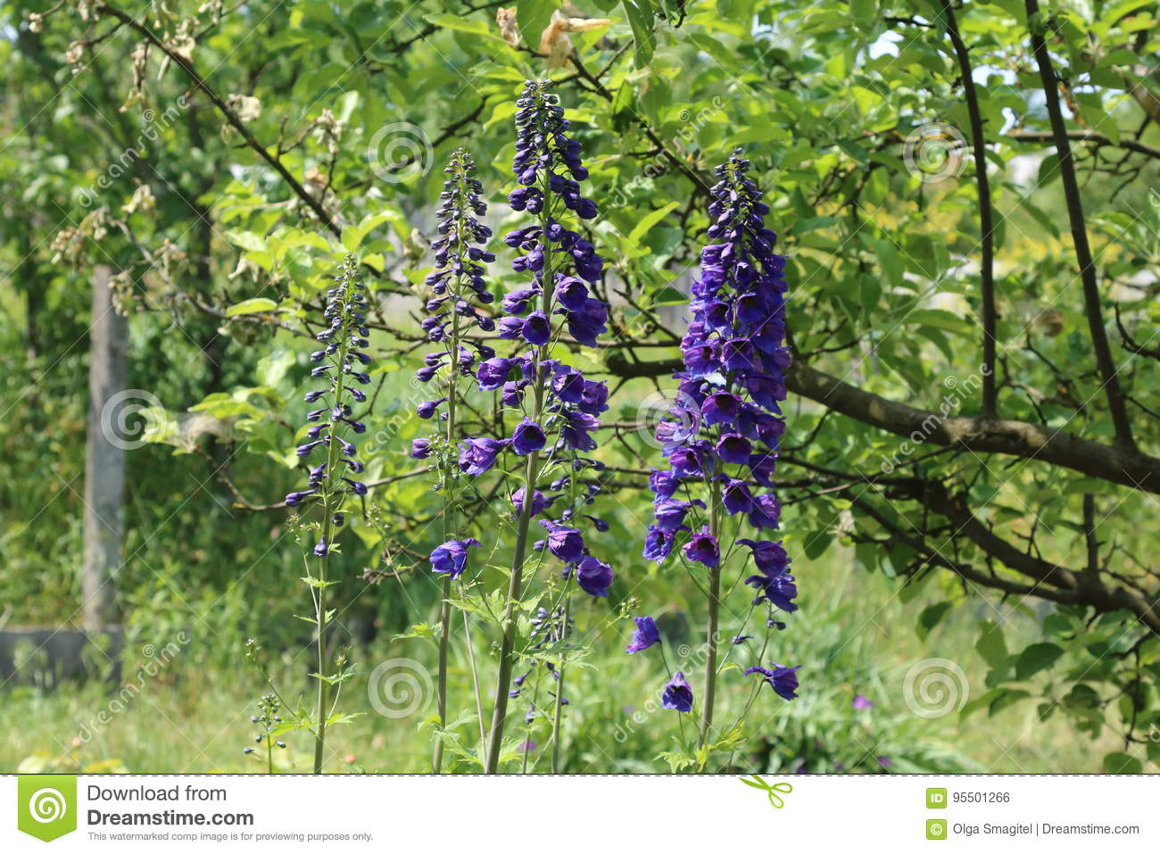 Delphinium Is A Perennial Flower In The Garden Stock Photo Image