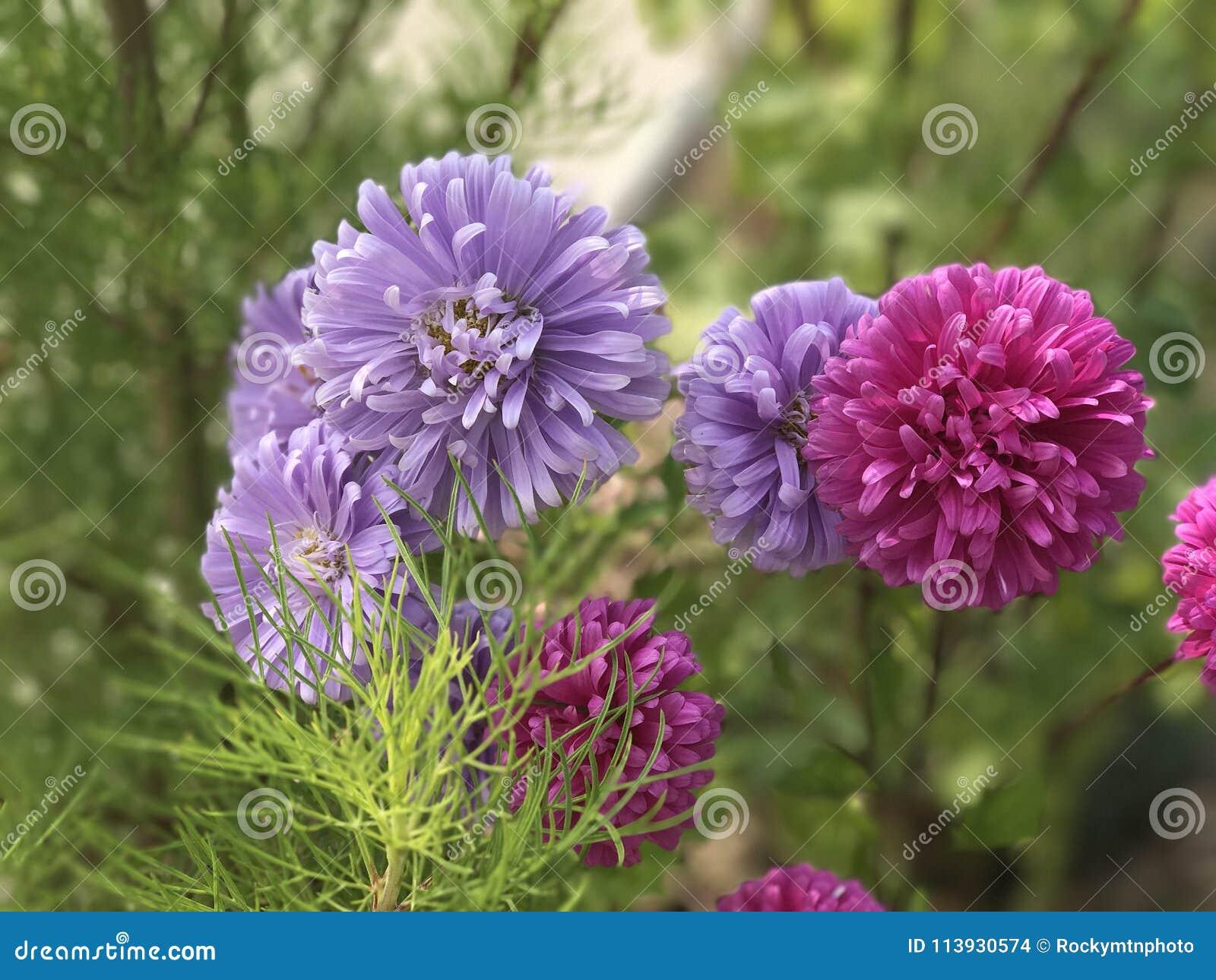 Delphiniums are perennials grown for their showy spikes delphinium delphiniums perennial flowers growing in a green garden in colorado izmirmasajfo