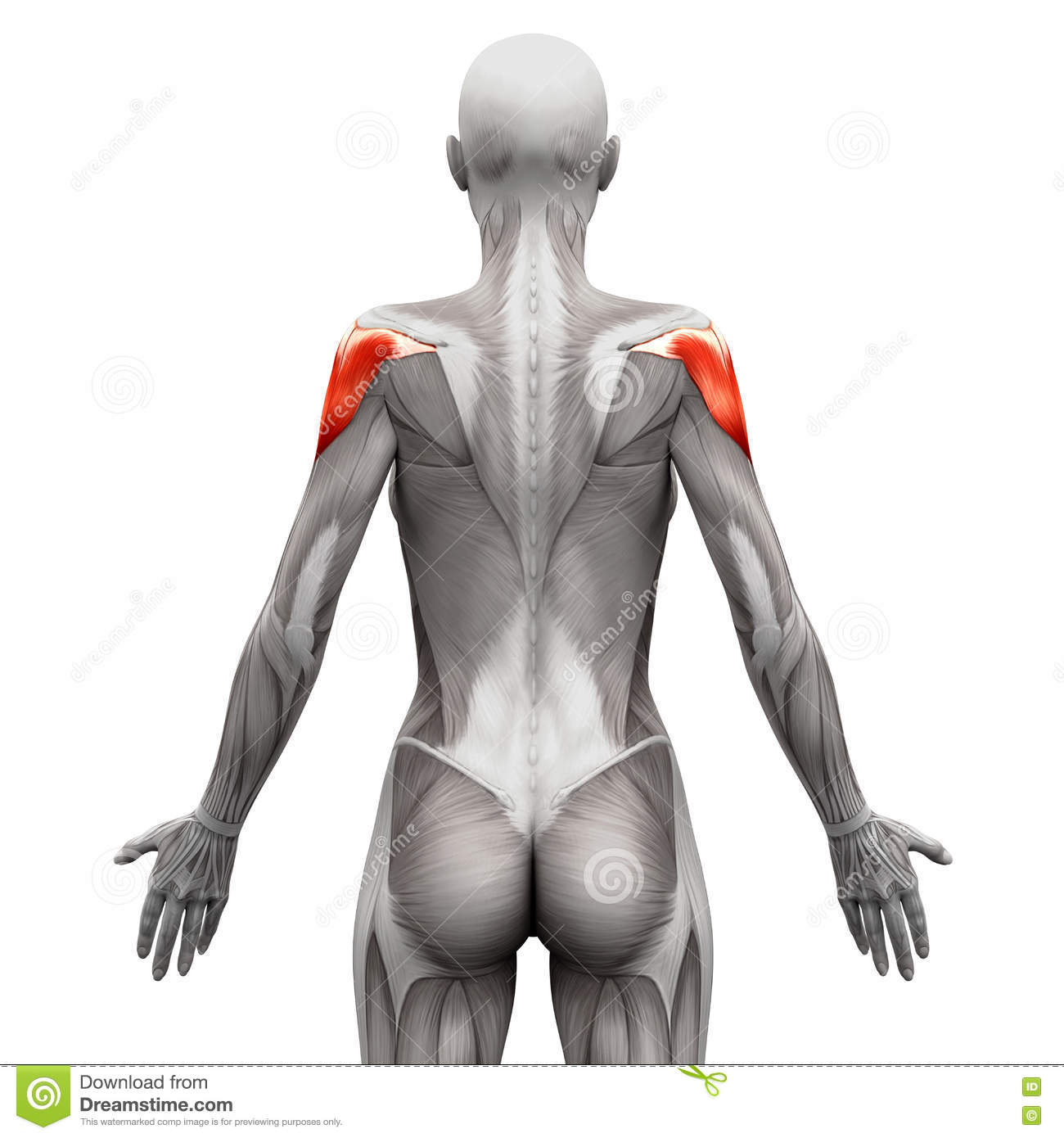 Deltoid Muscle - Anatomy Muscles Isolated On White - 3D Illustra ...