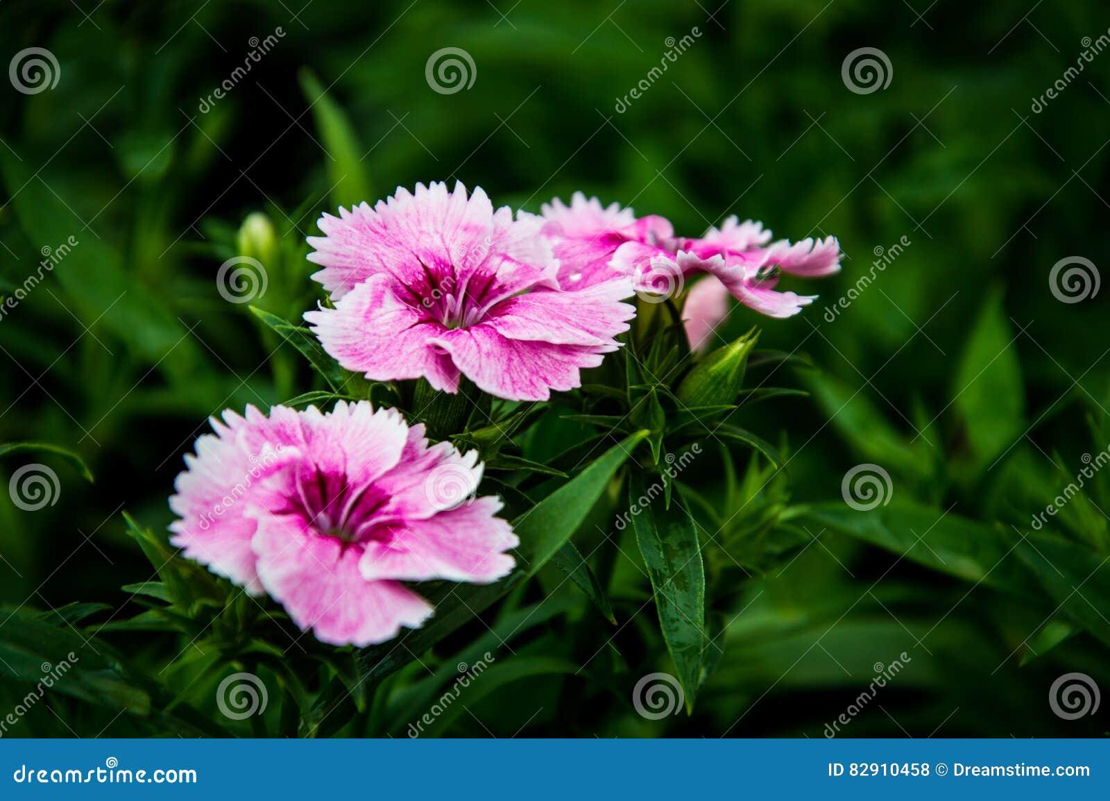 Deltoides Butterfly Flower Pink Girl Species Of Butterflies Na Stock