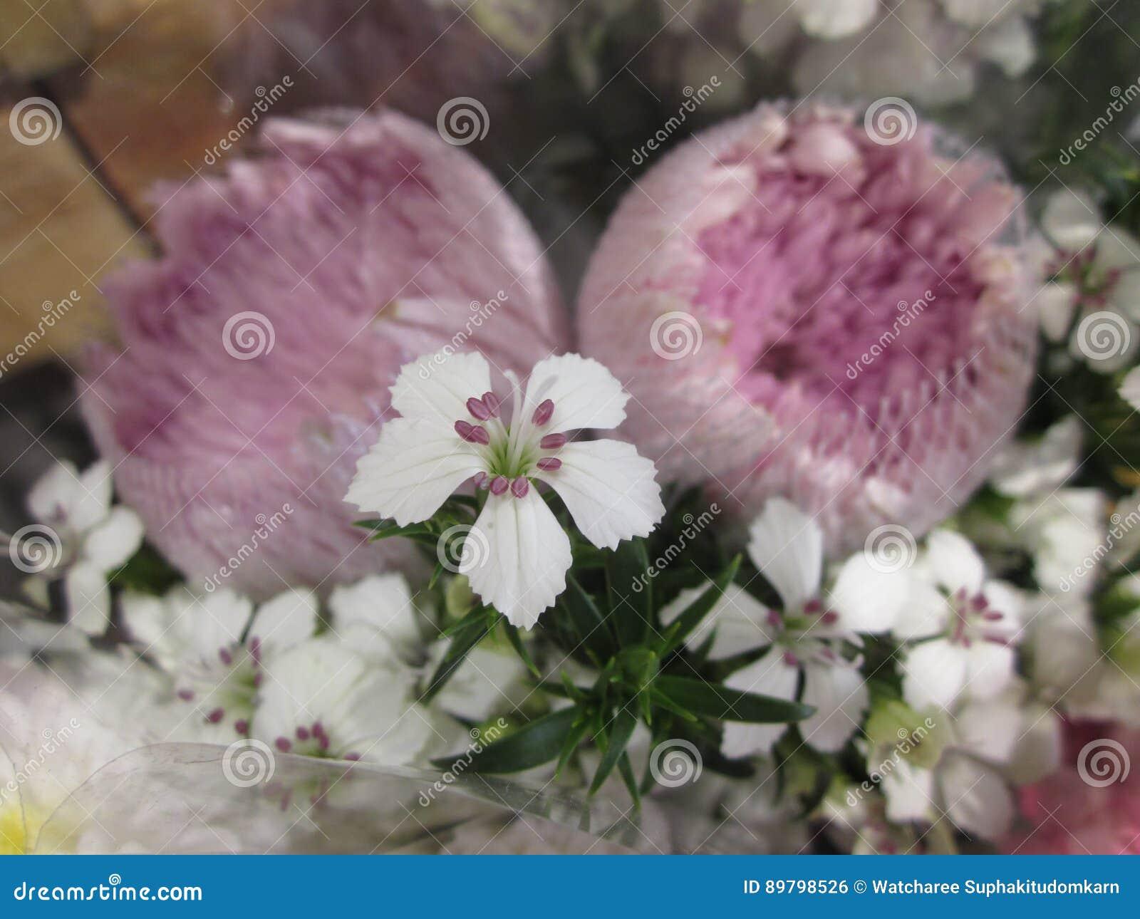 Deltoides del clavel o flor de Guillermo del clavel o del dulce