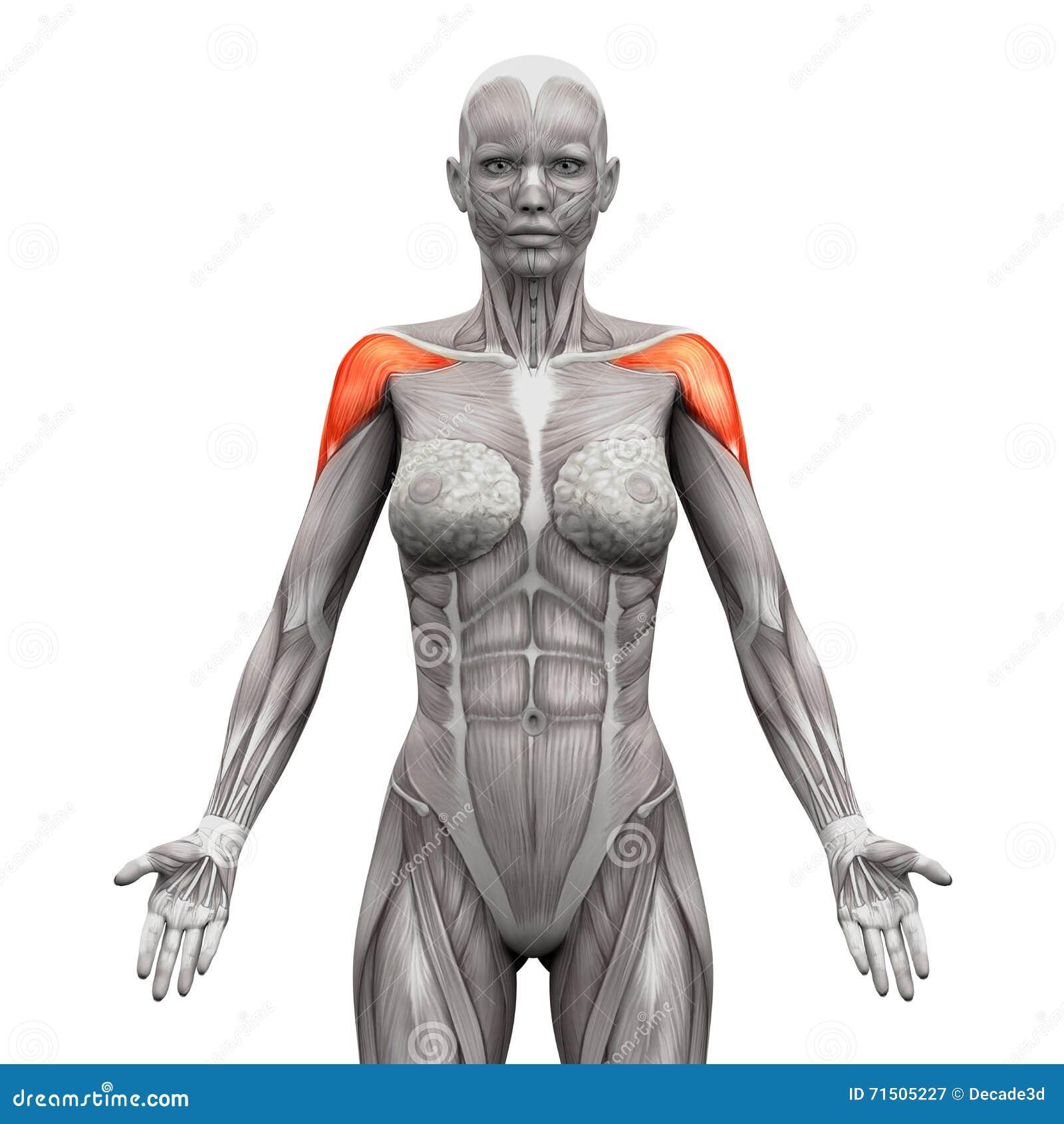 Deltoris Muscles Anterior - мышцы анатомии изолированные на бело-