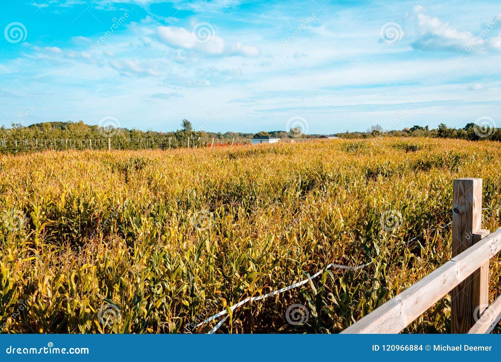 Dem Obstgarten von einem Maislabyrinth mitten in dem Bauernhof zurück betrachten