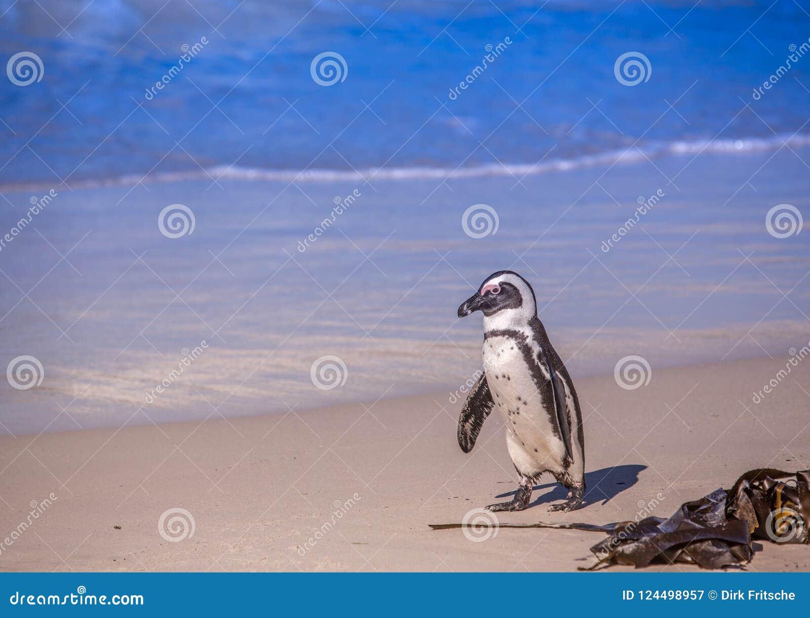 Demersus africano dello spheniscus dei pinguini aka alla spiaggia famosa dei massi di Simons Town vicino a Cape Town nel Sudafric