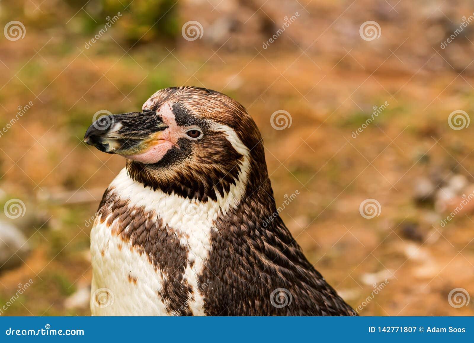 Demersus africano do spheniscus do pinguim