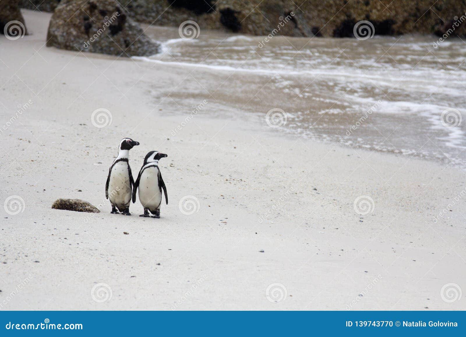 Demersus spheniscus 2 милое африканское пингвинов на валунах приставает к берегу около Кейптауна Южной Африки на песке смотря к