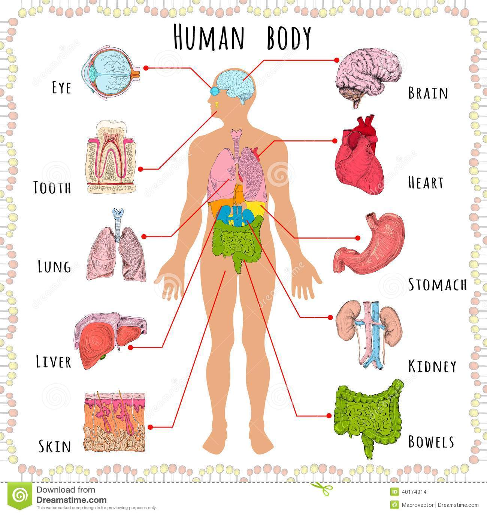 Diagrama Que Muestra Sistemas Del Cuerpo Humano Ilustración del ...