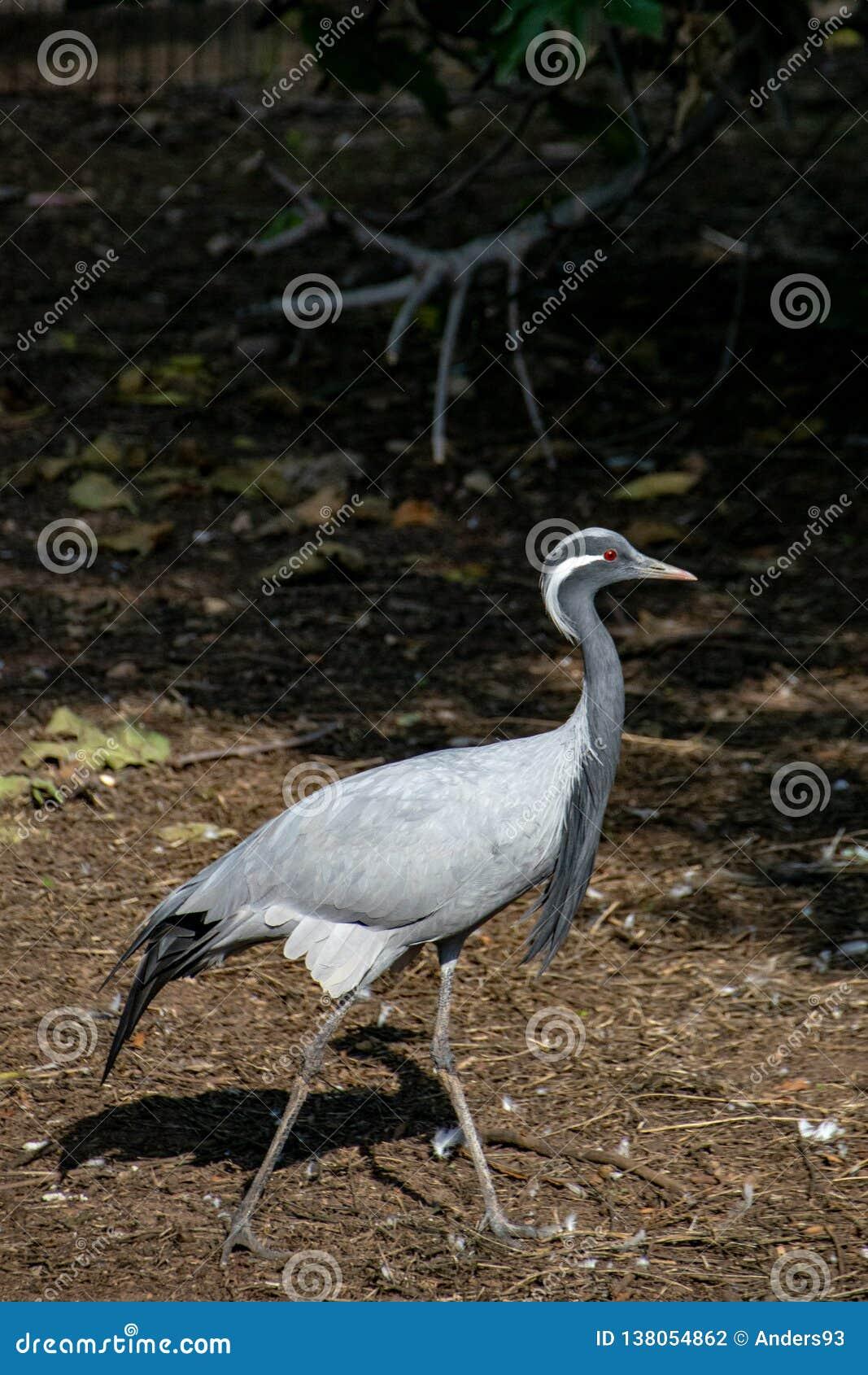 Demoiselle crane Grus virgo