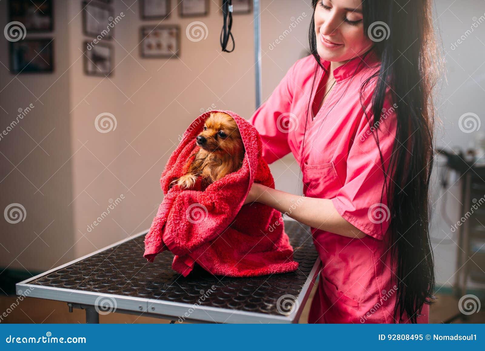 Den älsklings- groomeren torkar den lilla hunden med en handduk