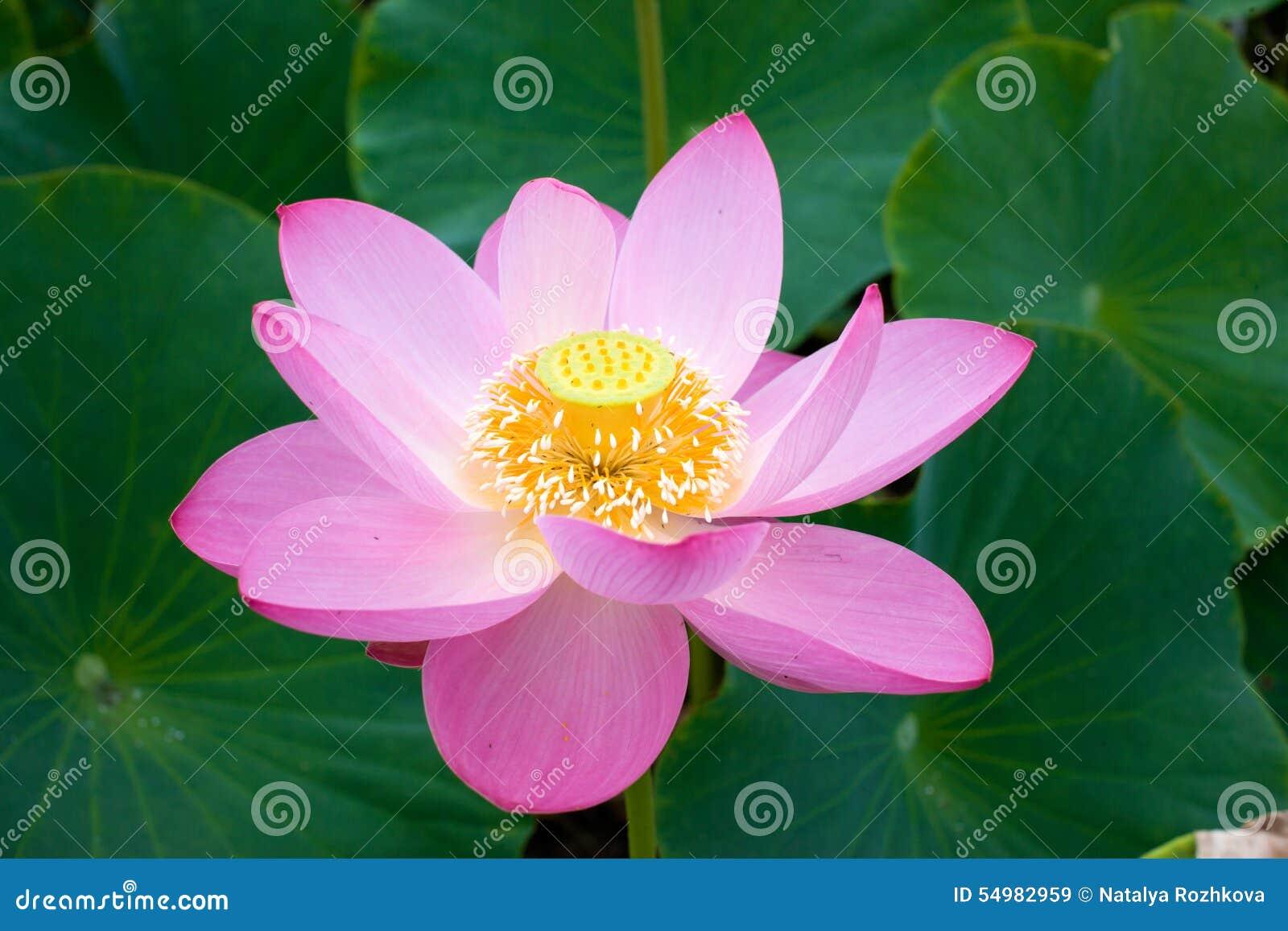 Den östliga blomman Lotus ska öppna