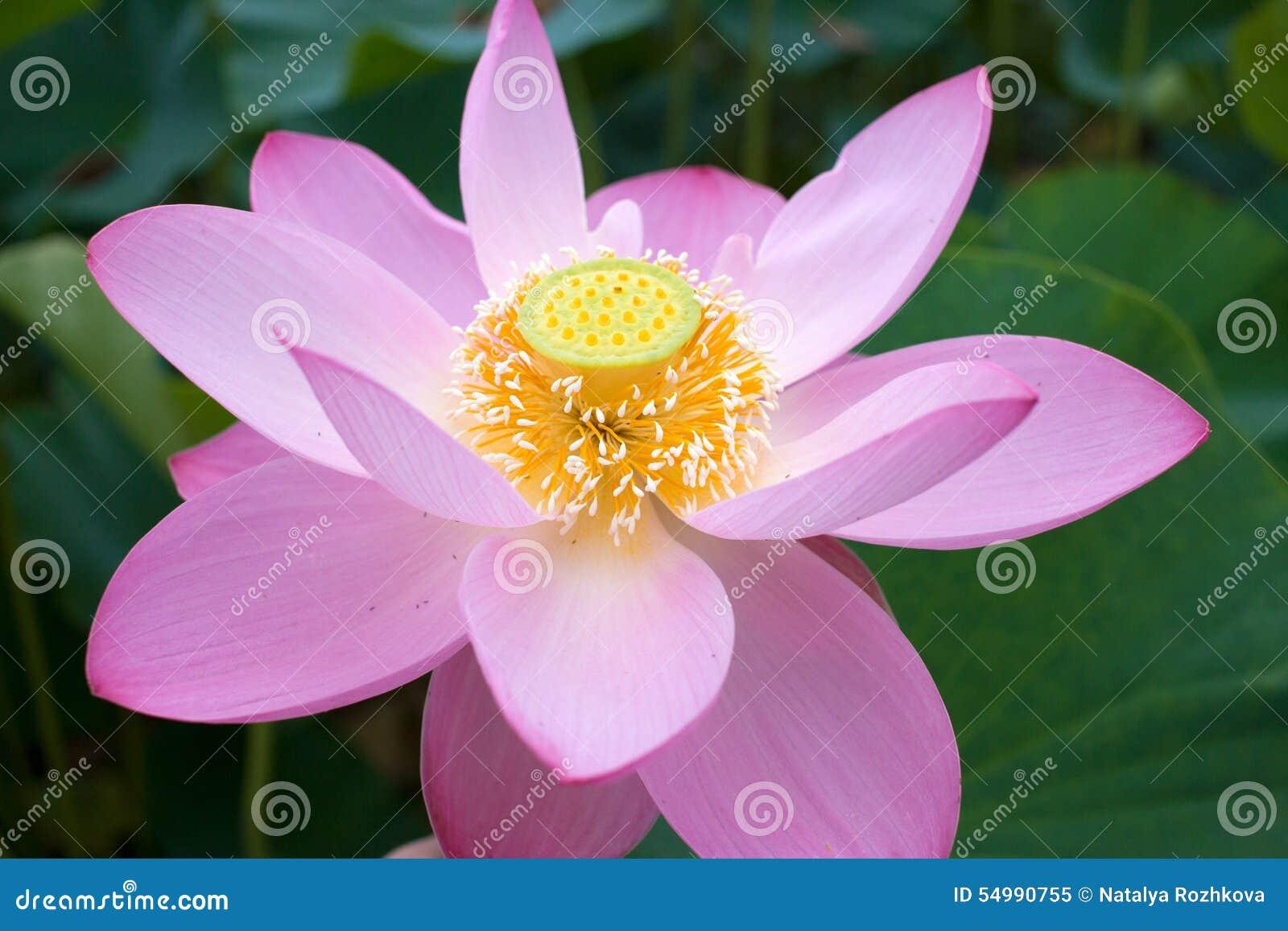 Den östliga Lotus ska öppna