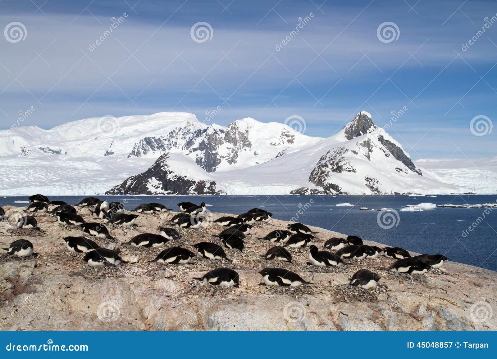 Den Adelie pingvinkolonin på vaggar på bakgrunden av berget