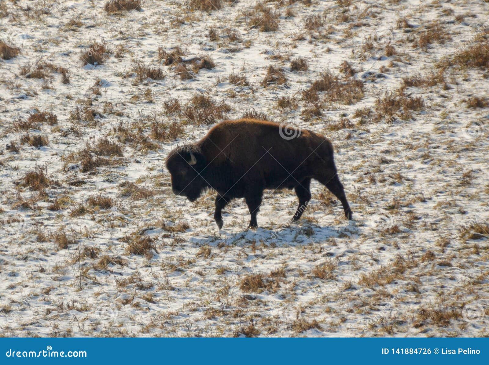 Den amerikanska bisonen irrar vinterfältet som söker efter gräs
