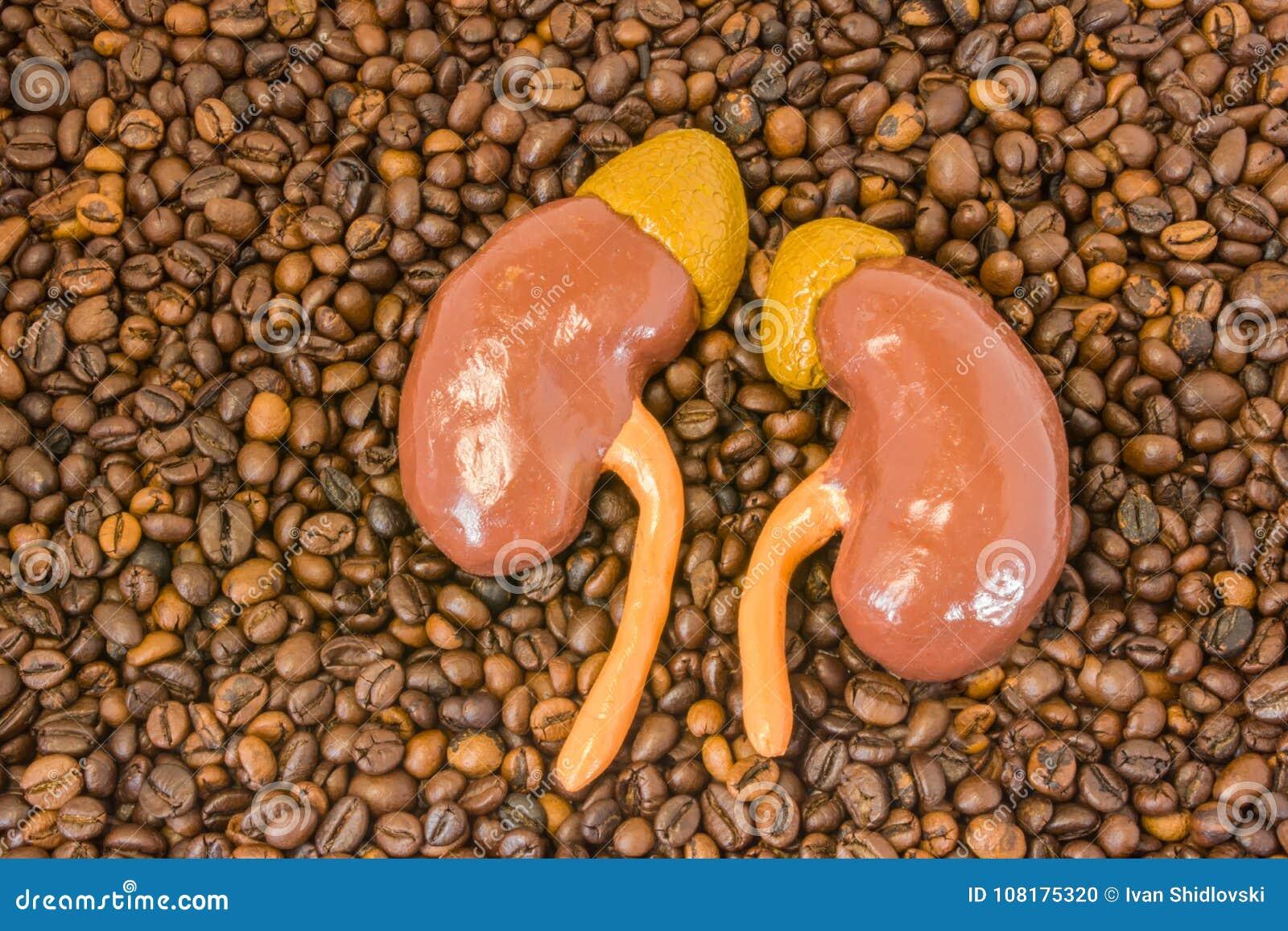 Den anatomiska modellen av njure med adrenals ligger på spridda grillade kaffebönor Effekt av kaffe och koffein på exkretorisk fu