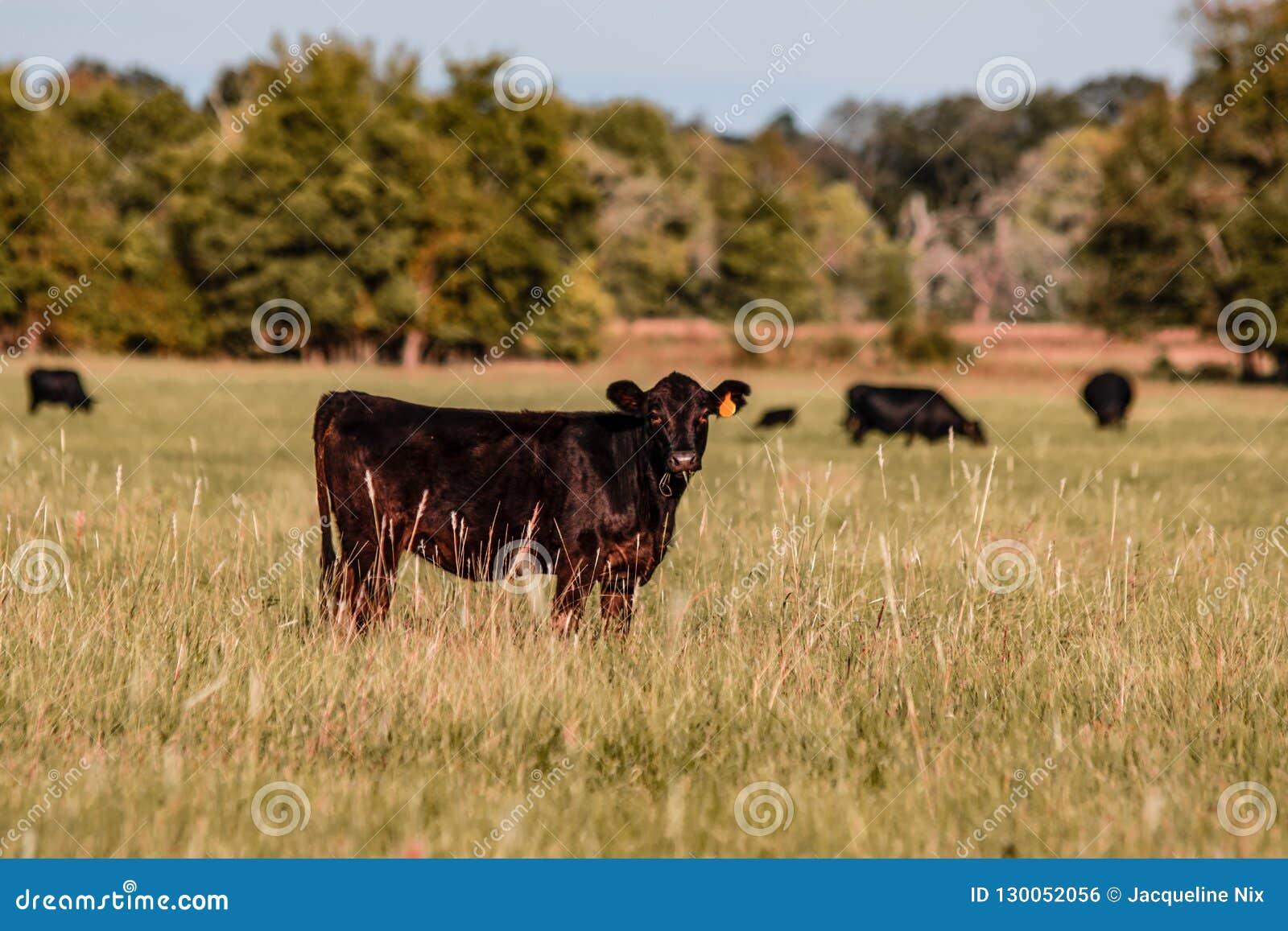 Den Angus kalven i tidig höst betar