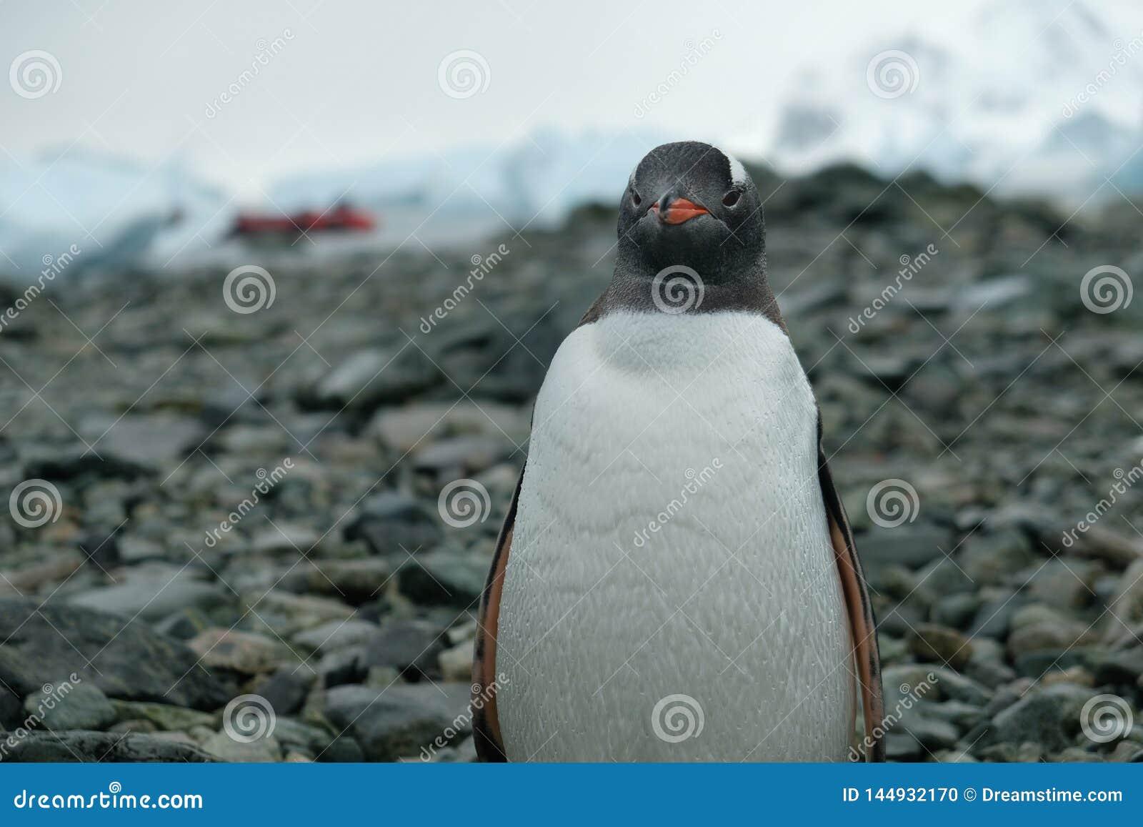 Den Antarktis Gentoo pingvinet står på den steniga stranden med vattendroppar på fjädrar, rött fartyg