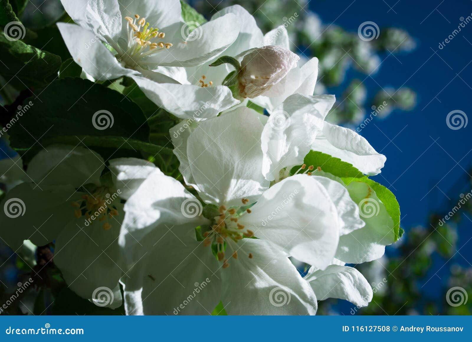 Den Apple blomningen blommar i våren som blommar på ung trädfilial a