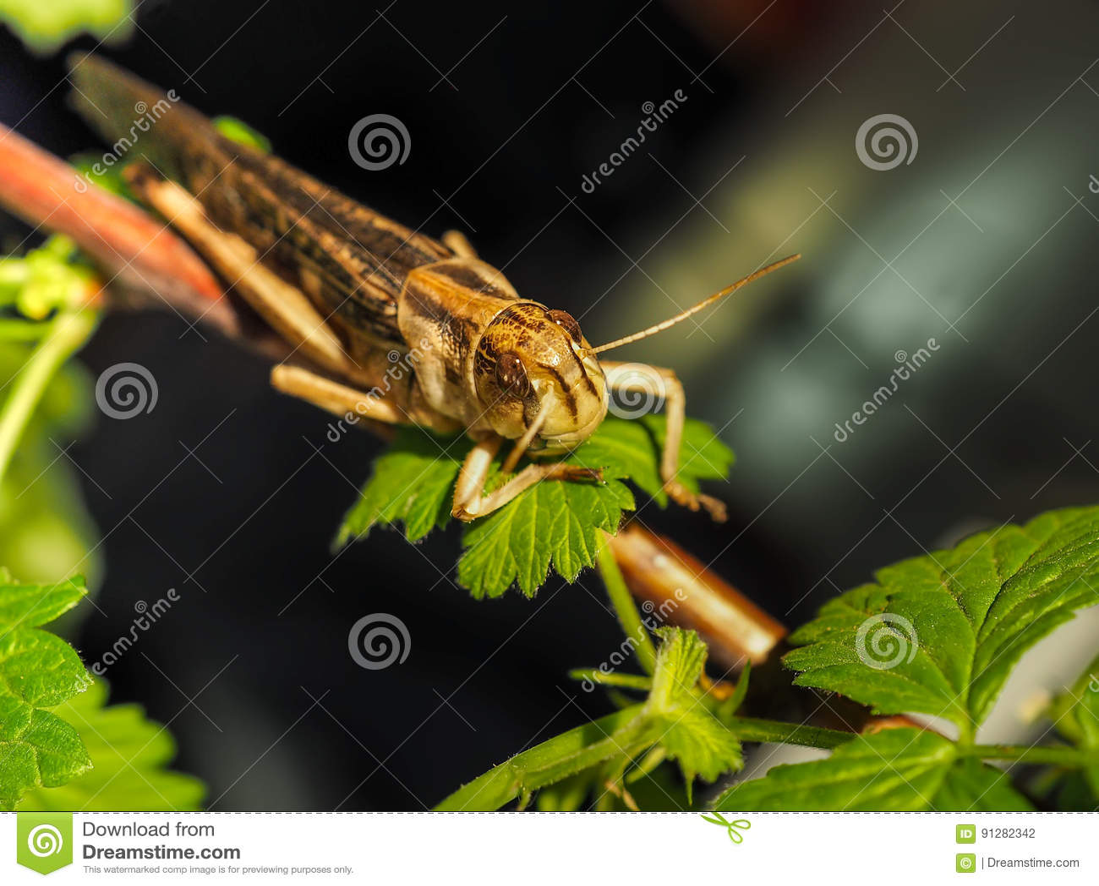 Den beigea svarta gräshoppan, på ett grönt blad, fotograferade tätt