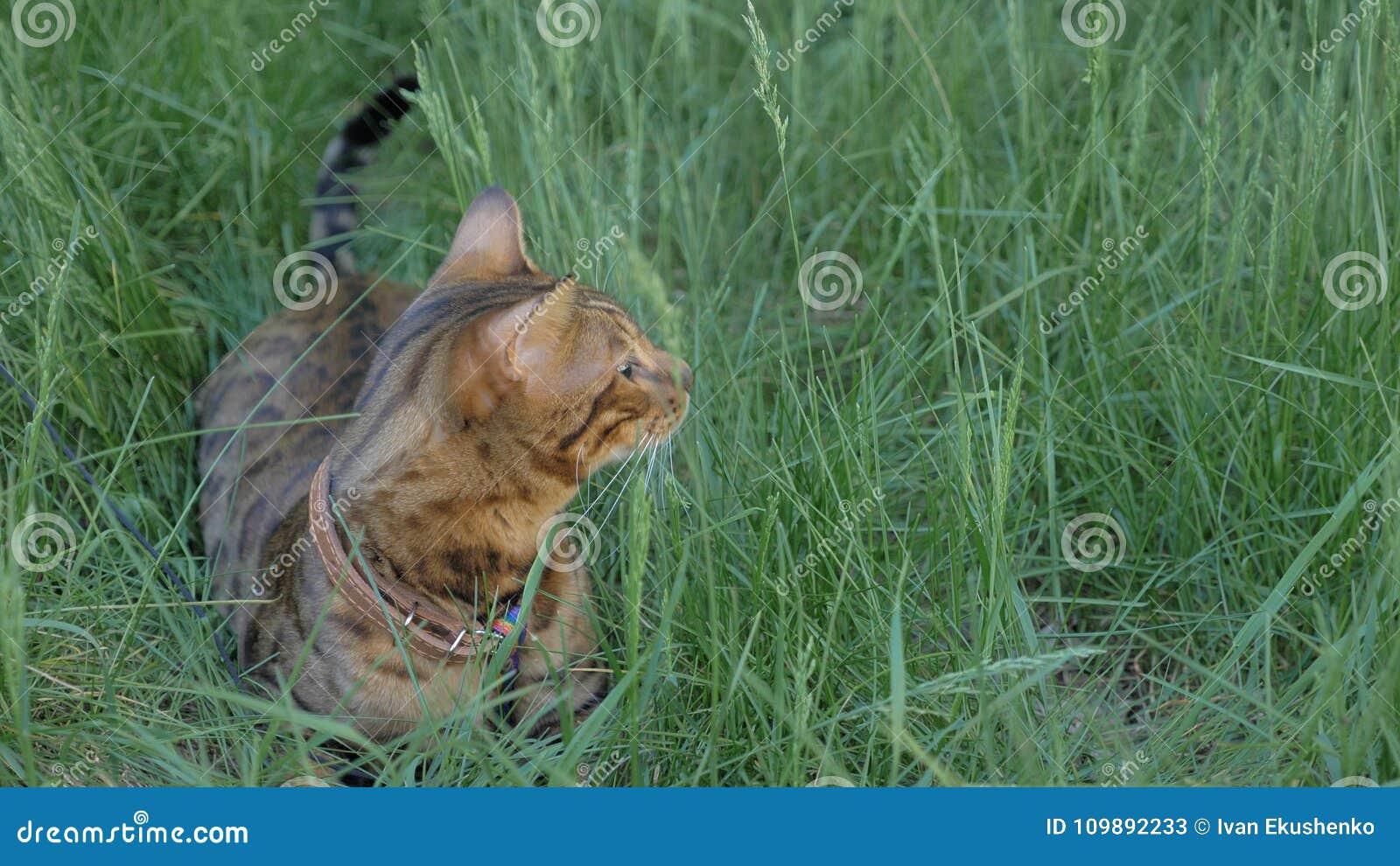 Den Bengal katten går i gräset Han visar olika sinnesrörelser