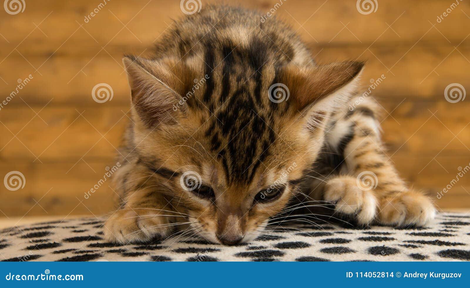 Den Bengali kattungen luktar yttersidan, på en träbakgrund