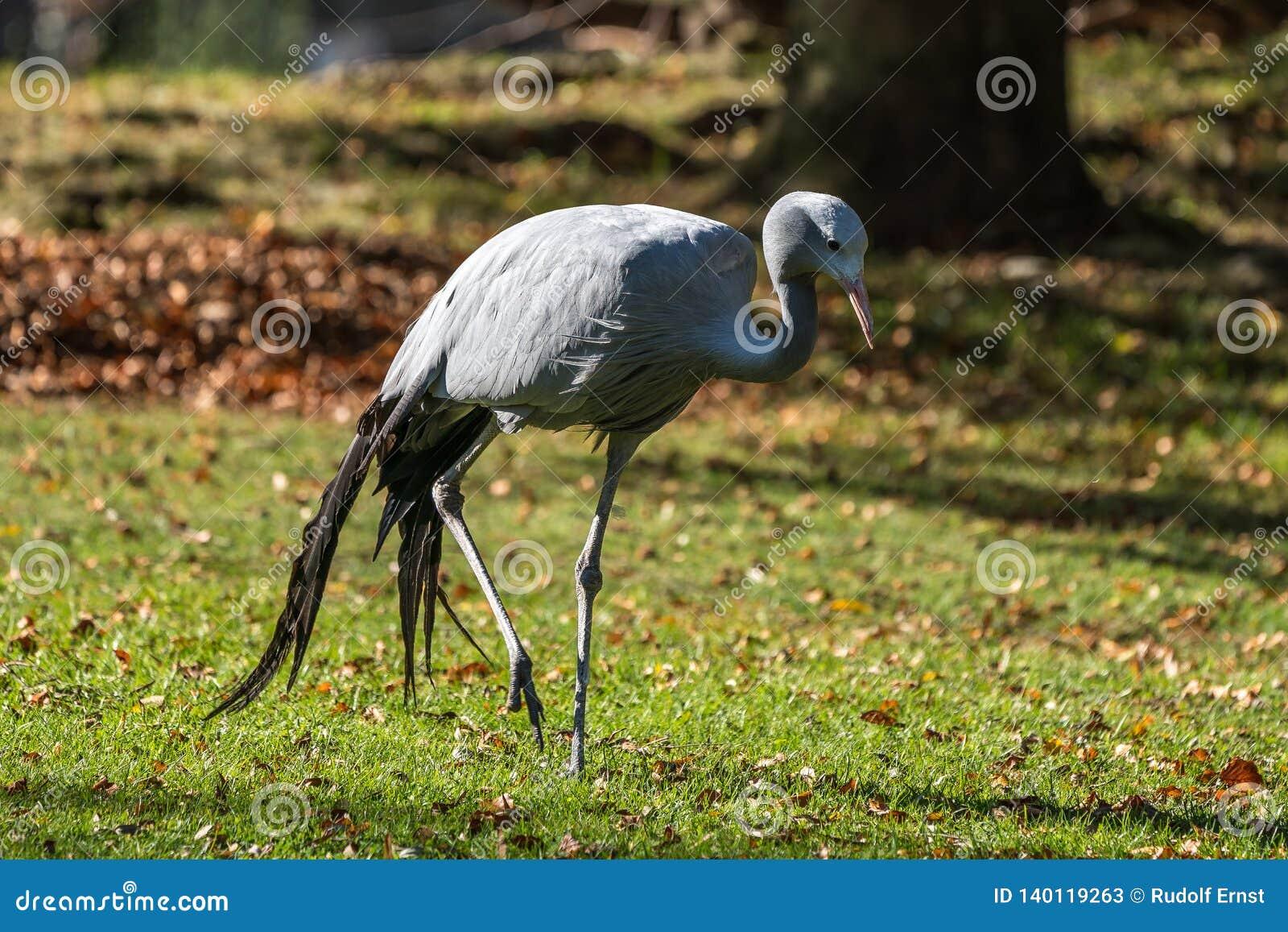 Den blåa kranen, Grusparadisea, är en utsatt för fara fågel